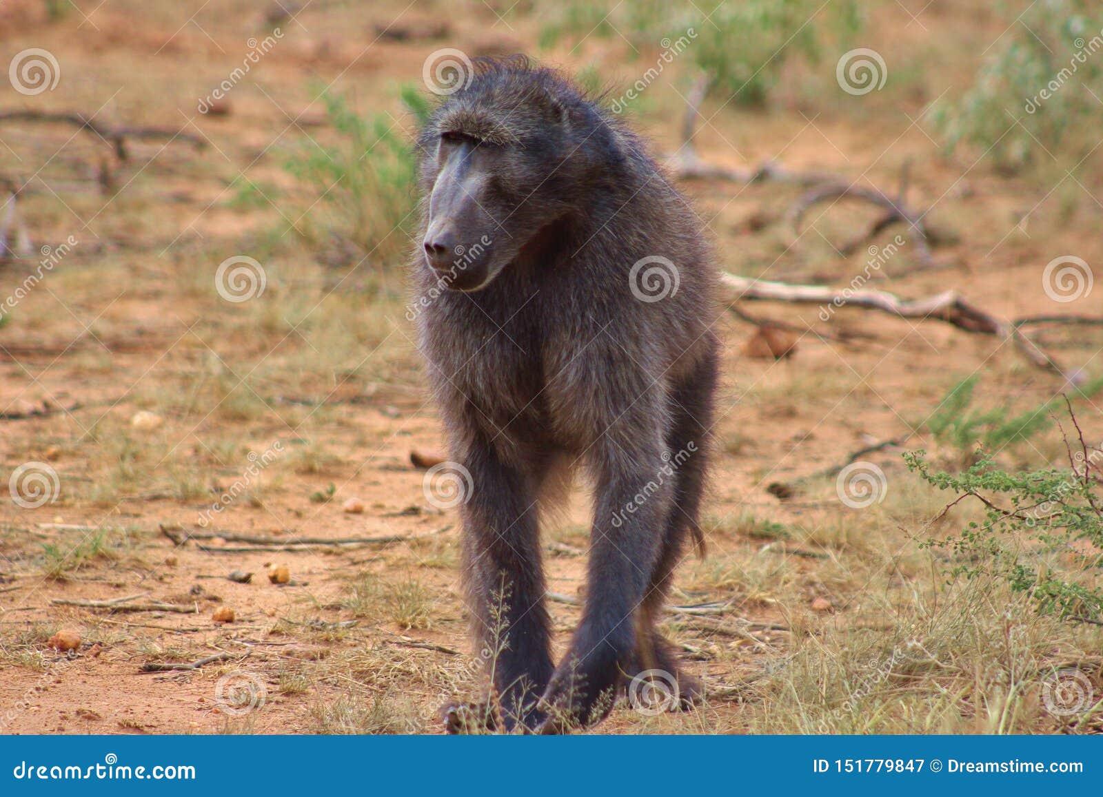 Een Chacma-baviaan die in Namibië wordt gevangen