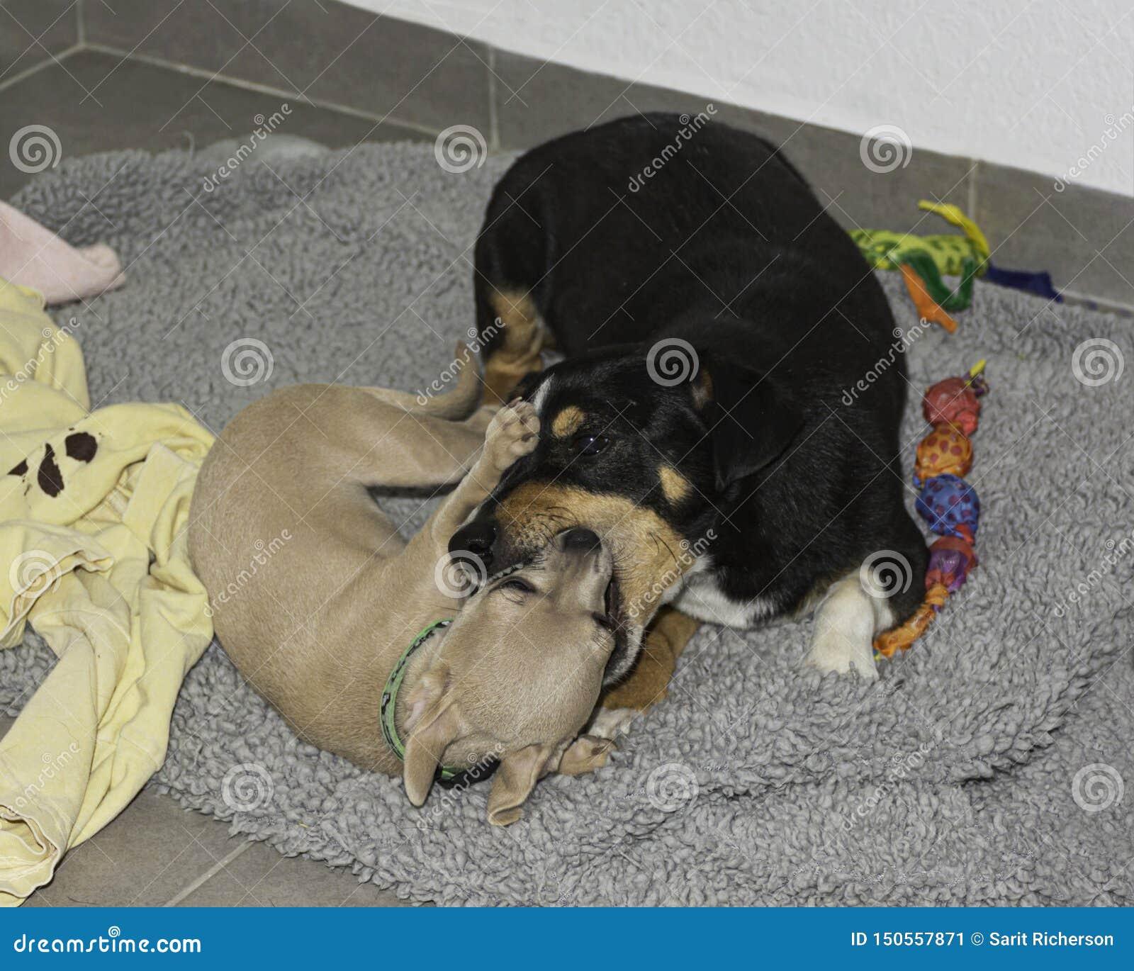 Een Chihuahua-Puppy en een Oudere Hond die Kissy Face spelen