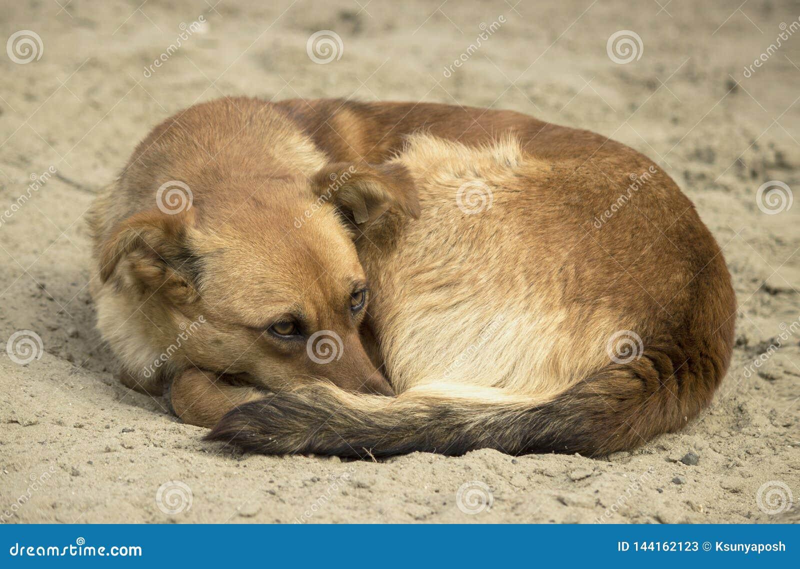 Een daklozen bevroren bruine kleine hond met een etiket op zijn oor krulde omhoog op het koude natte zand en spreidde zijn gezich