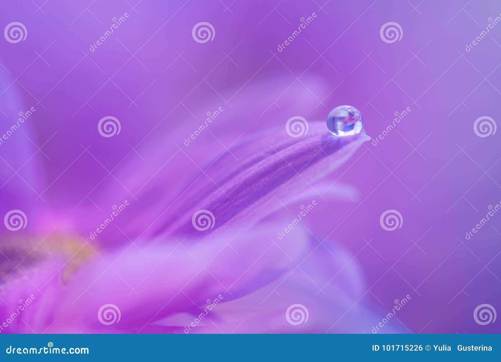 Een daling van dauw op het bloemblaadje van een purpere bloem Zachte macro met een zachte nadruk
