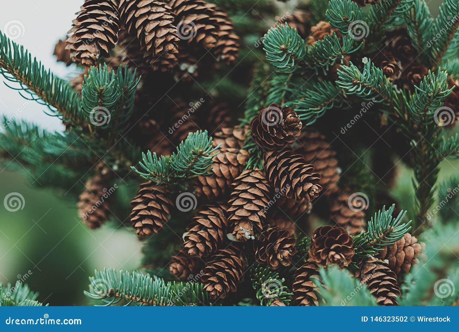 Een denneappelboom