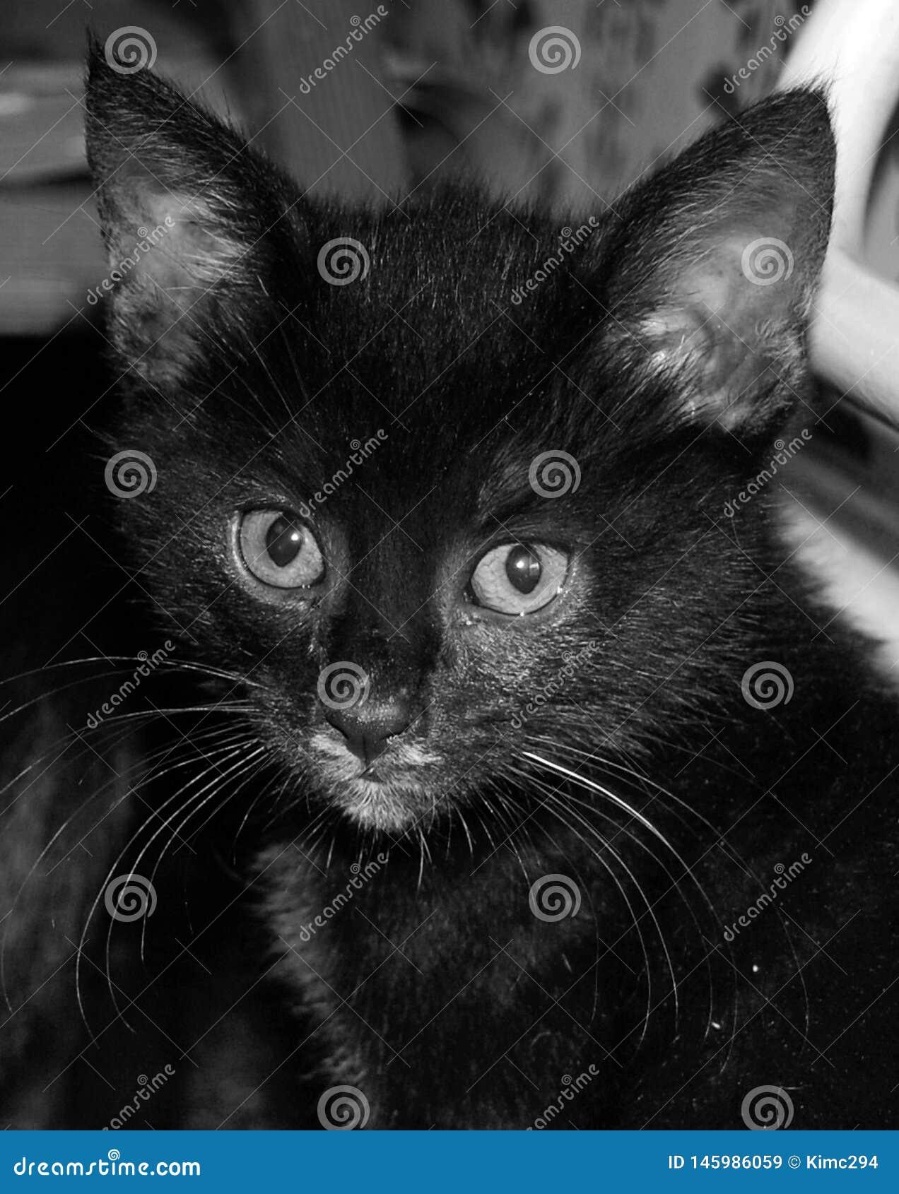 Een dicht omhooggaand portret in zwart-wit van een uiterst klein zwart katje