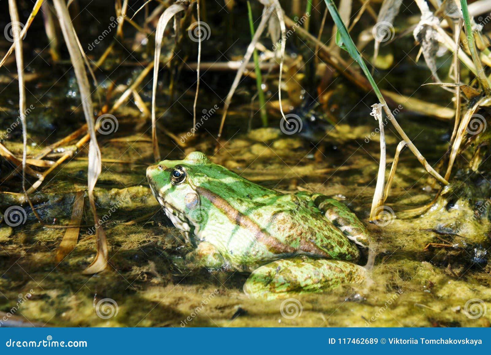 Een dikke groene padzitting in een vijver