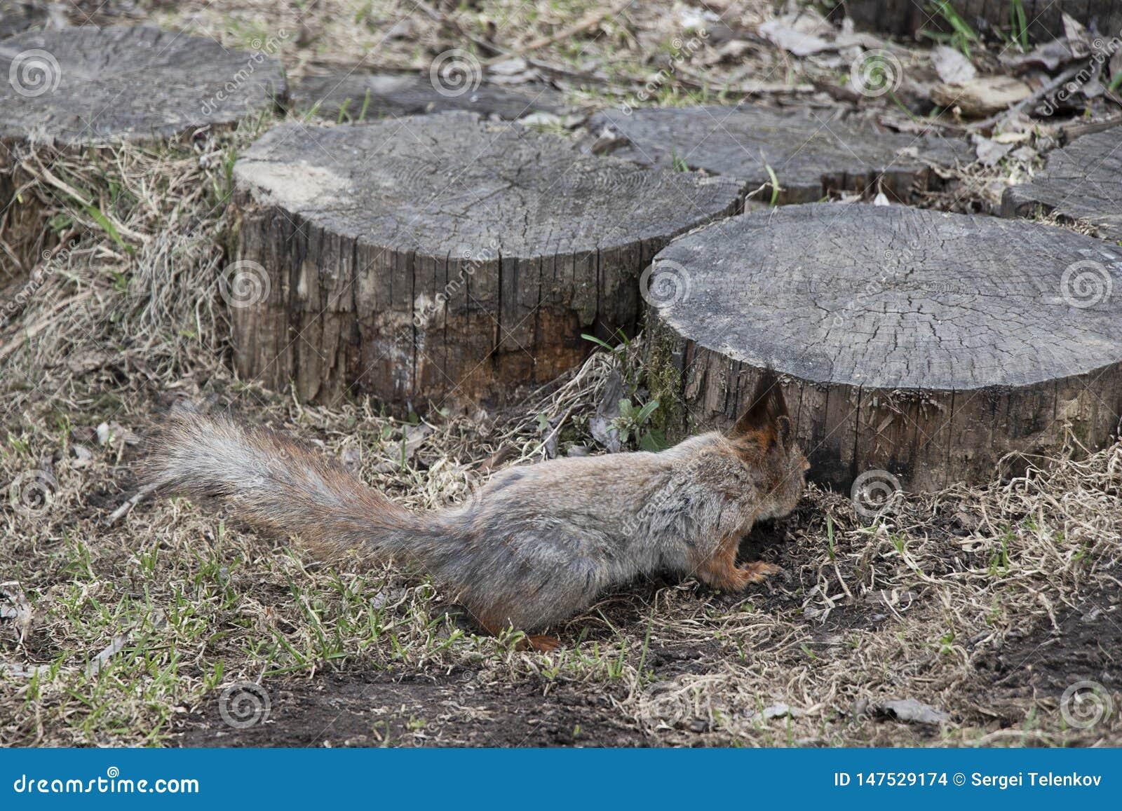 Een eekhoorn met een pluizige staart zoekt noten naast een houten stomp Bruin dierlijk knaagdier in natuurlijk