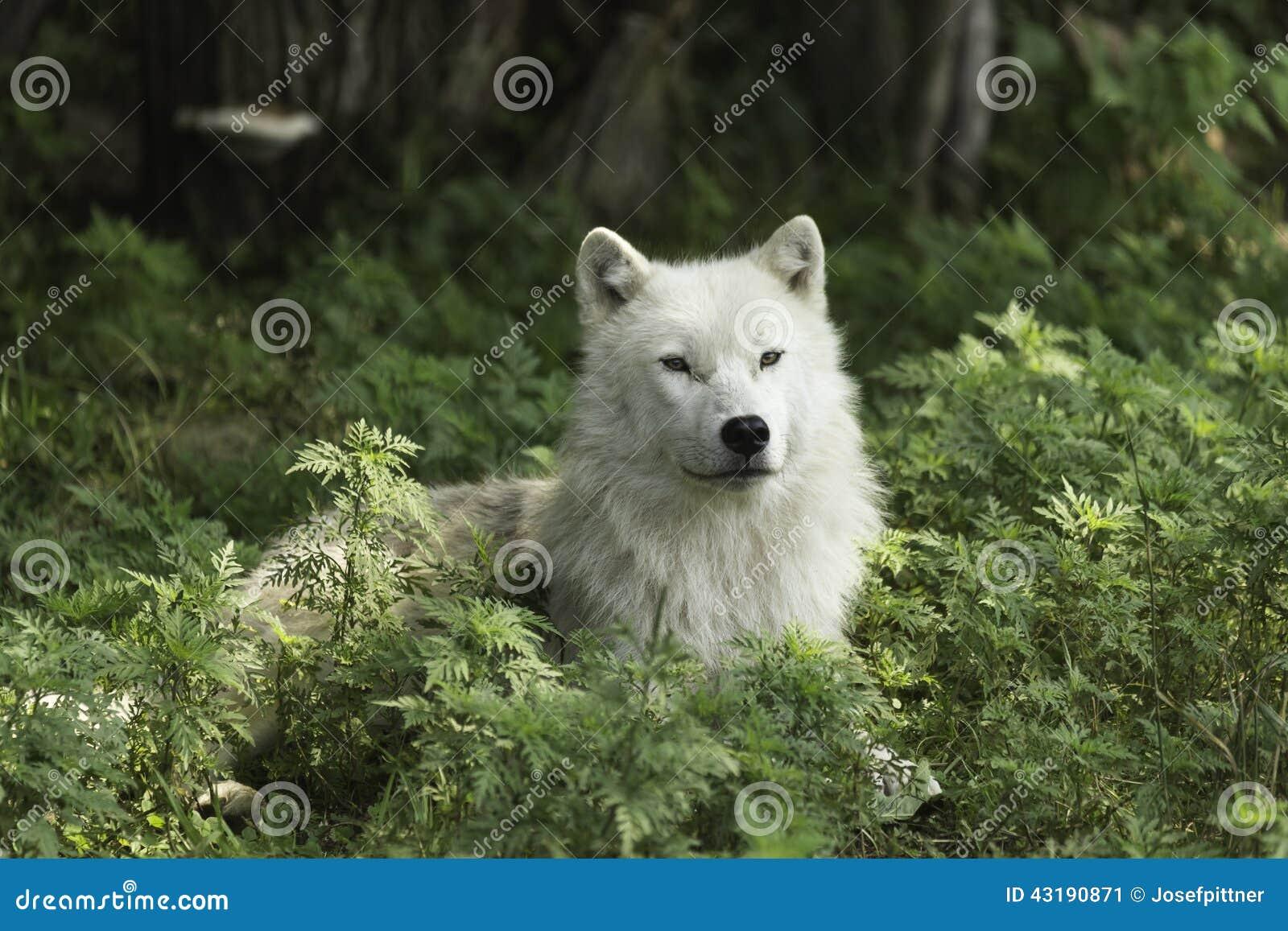 Een eenzame Noordpoolwolf die op een in de schaduw gesteld gebied rusten