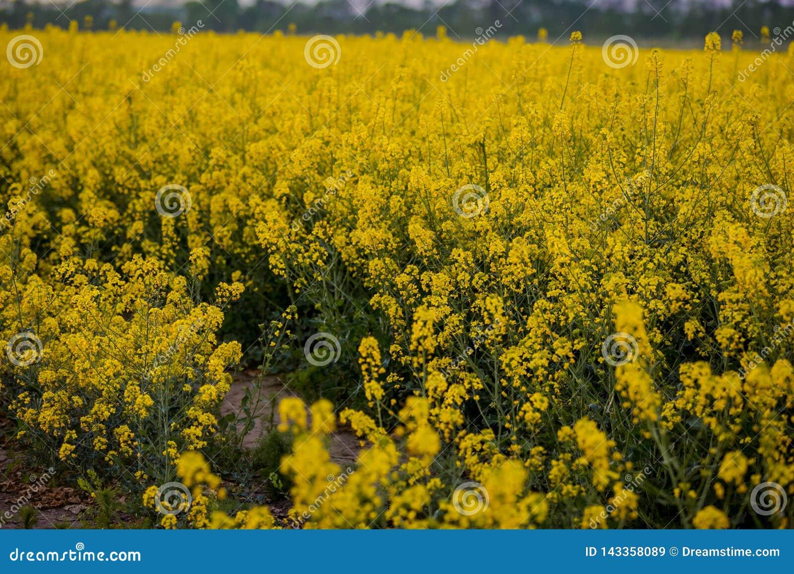 Een eindeloos gebied van verkrachting Bloeiende oranje bloemen