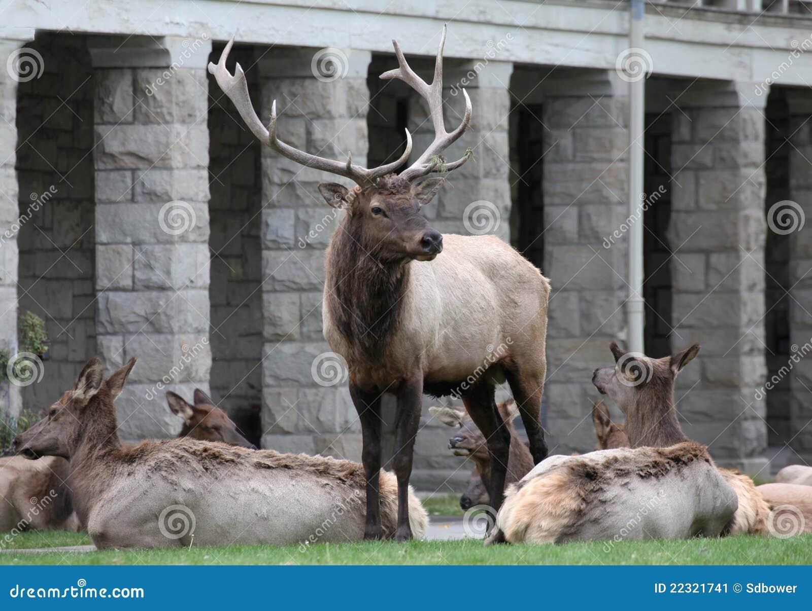 Een eland die van de stier zich op het gazon van het huis van het hof bevindt stock afbeelding - Amenager een voorgerecht van het huis ...