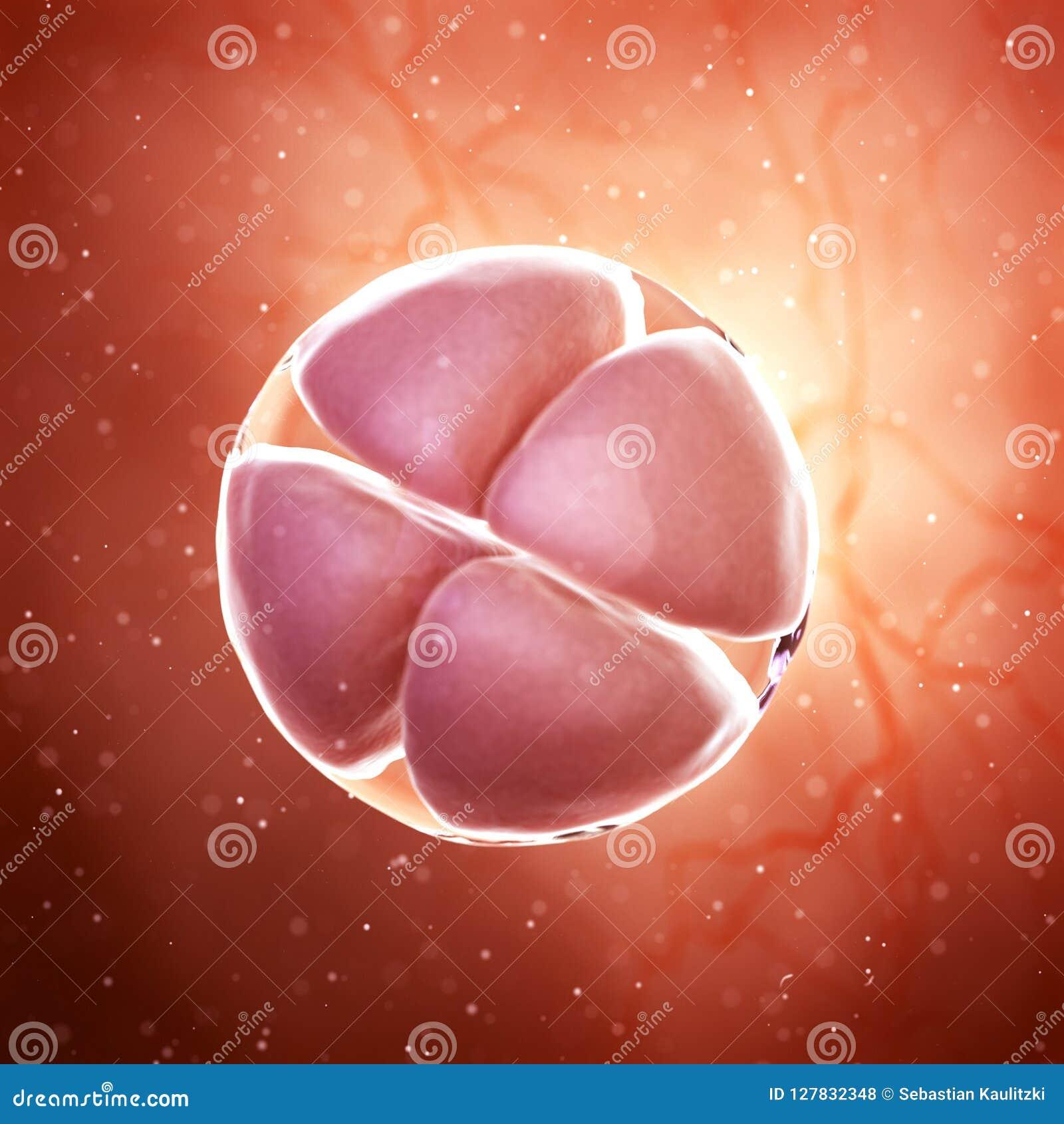 Een embryo van het 4 celstadium