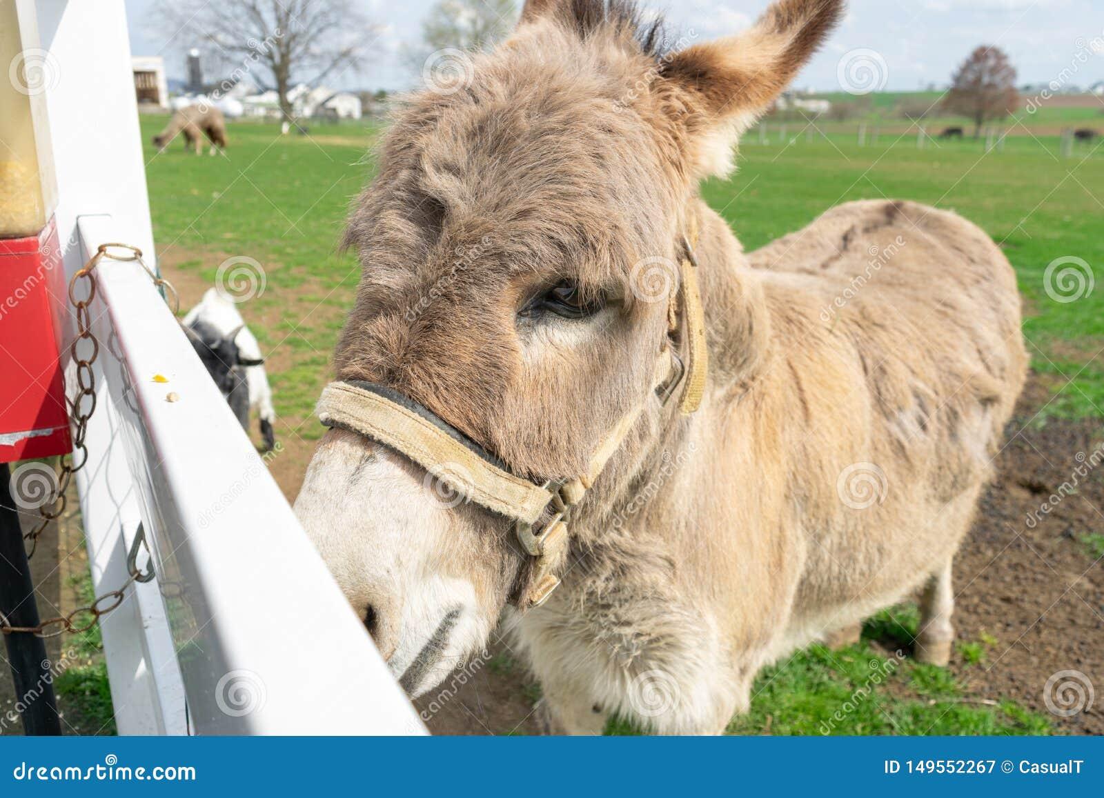 Een ezel die door een witte omheining gluren