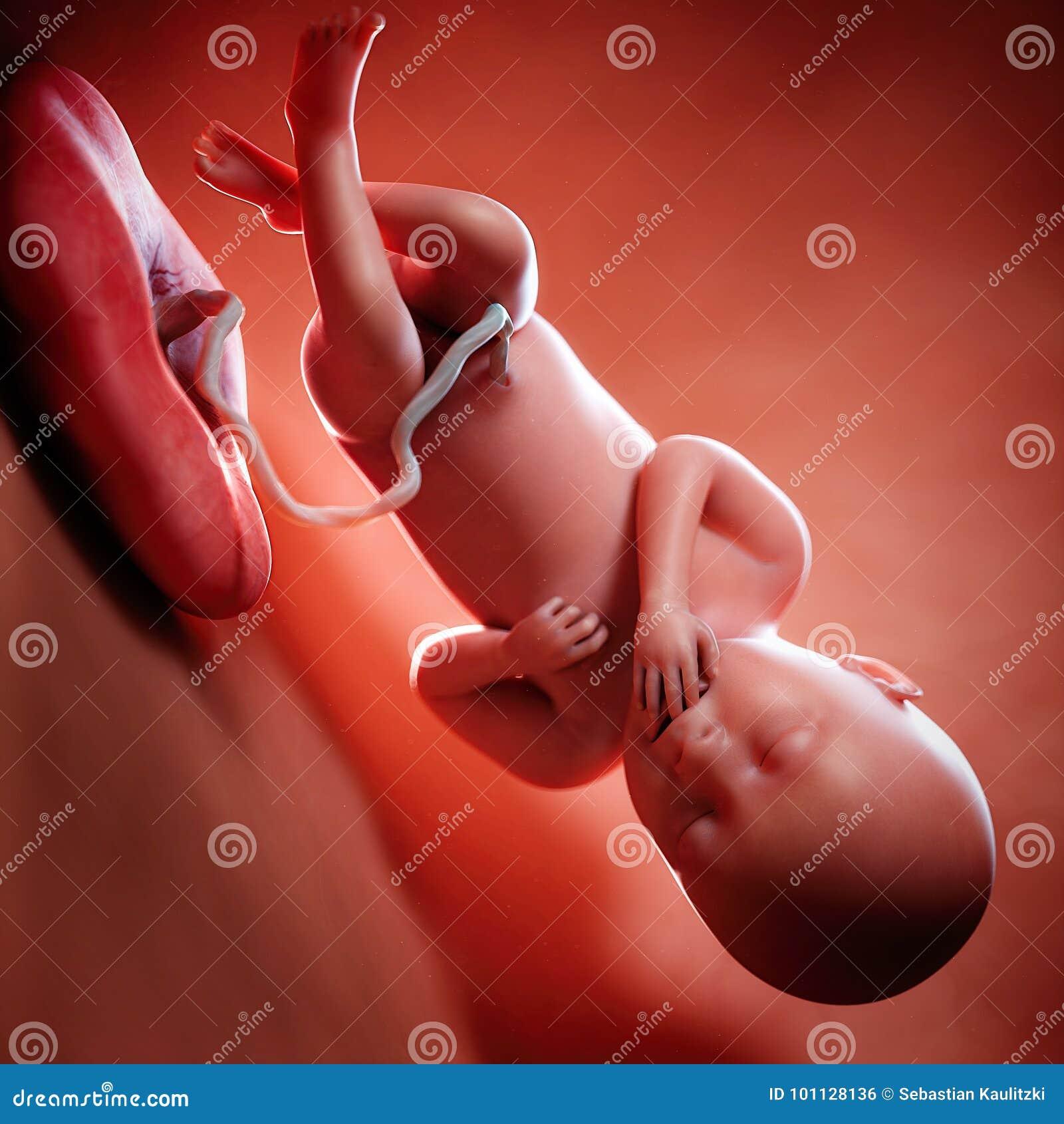 Een foetusweek 36