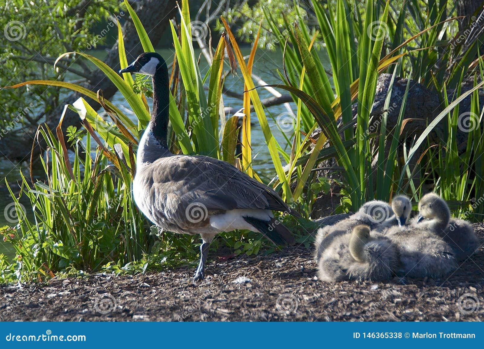Een Gans van Canada met baby vier bij Golden Gatepark
