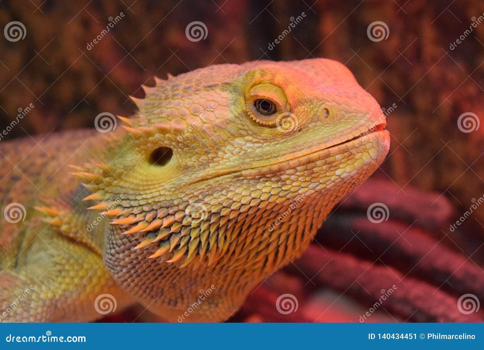 Een gebaarde draak, omhoog dicht en persoonlijk