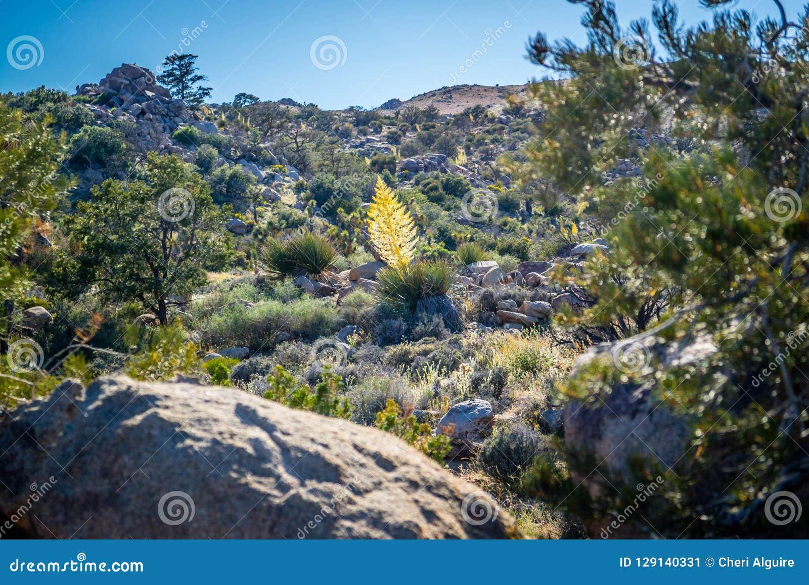 Een geelachtige Tamarack-Lariksboom in Joshua Tree National Park, Californië