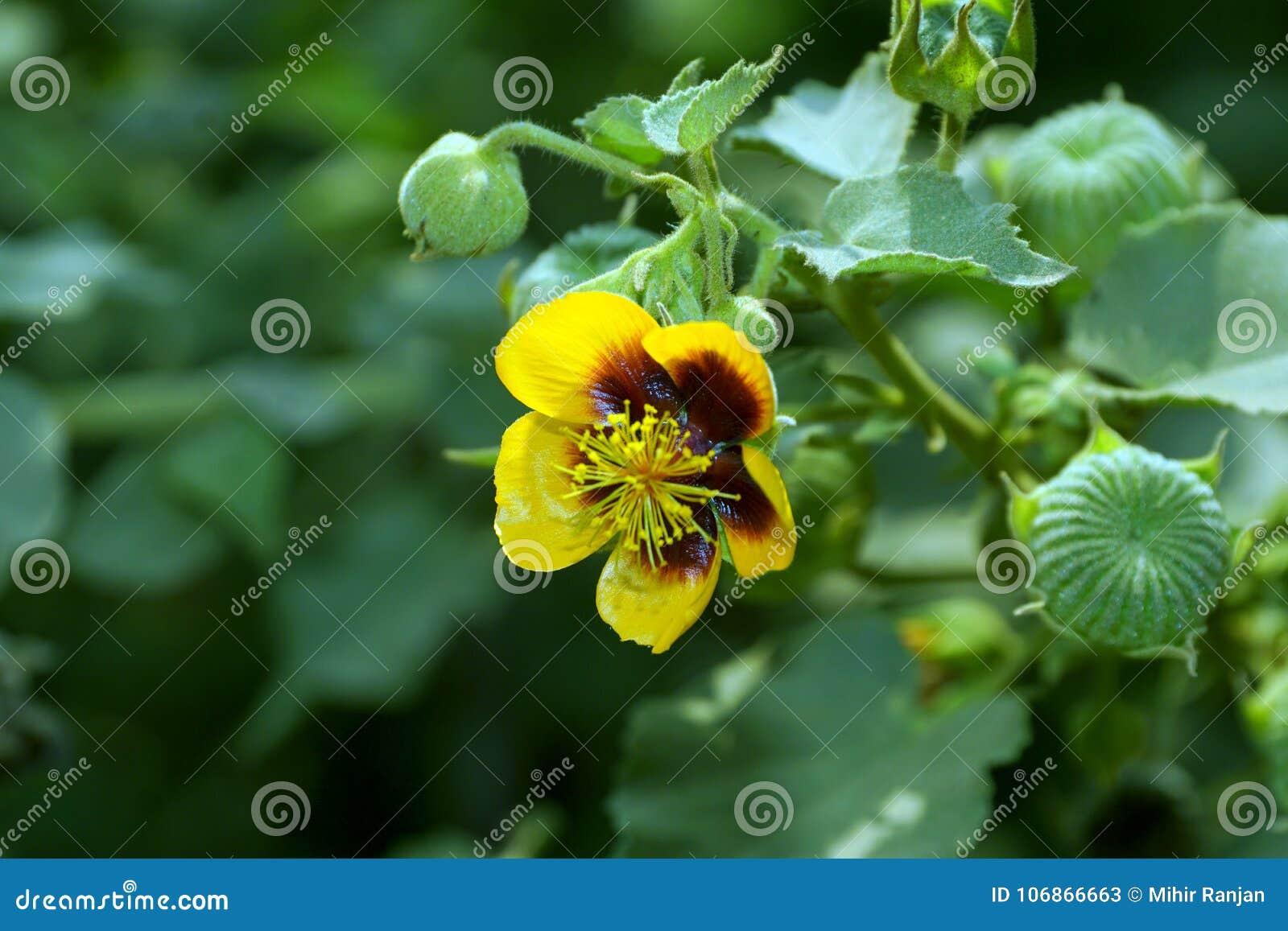 Een Gele bloem van de Indische malve van Palmer ` s met groene zaadpeulen