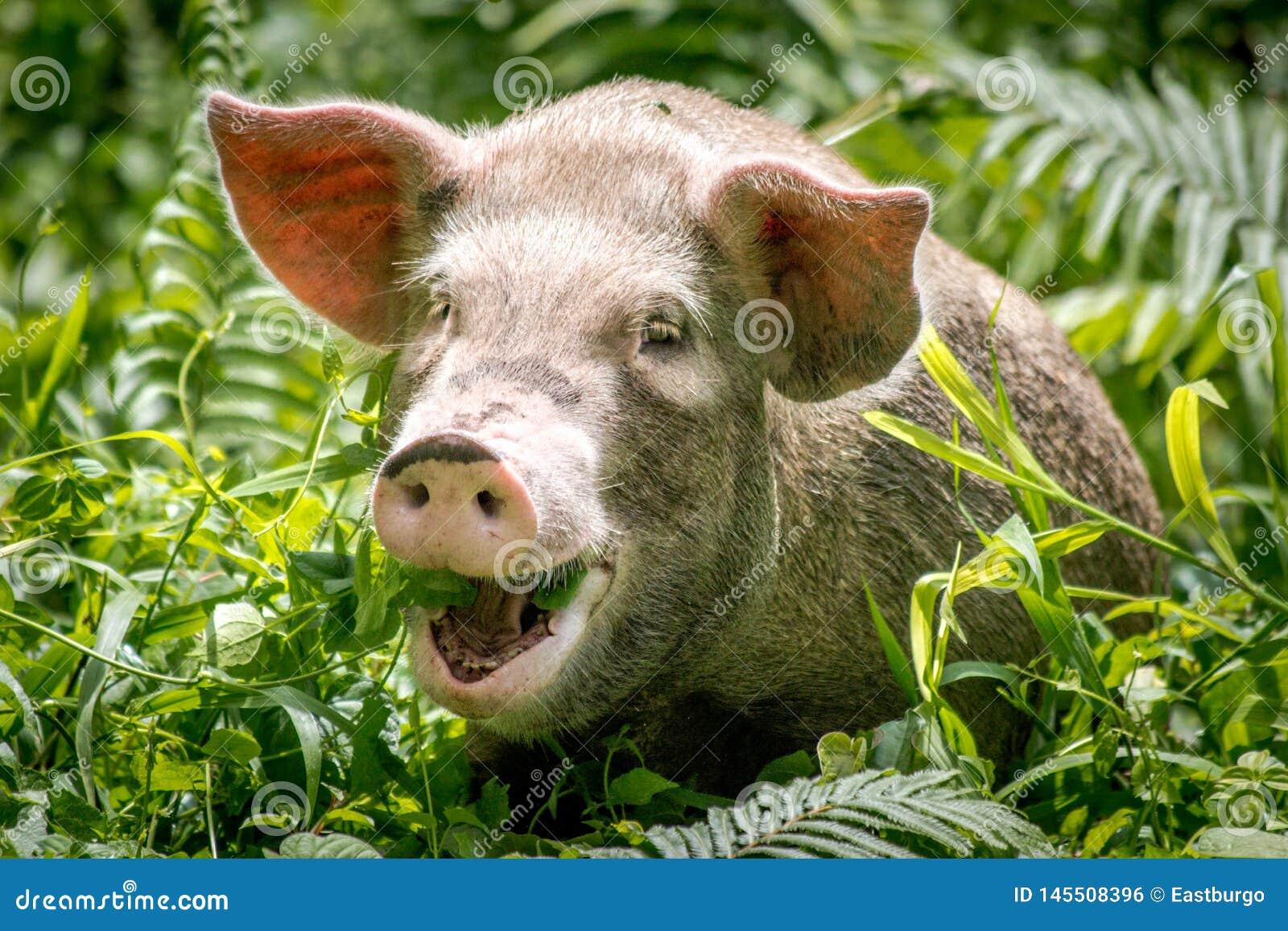 Een gelukkig varken in Papoea-Nieuw-Guinea