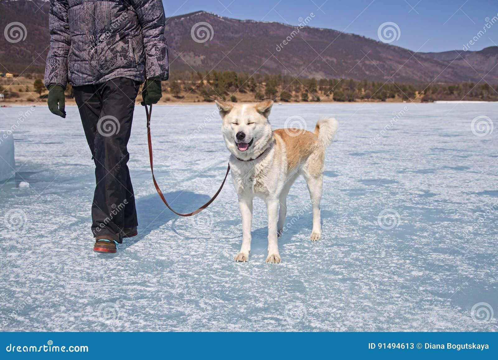 Een gelukkige Japanse Akita Inu-hond met gesloten ogen op een leiband met haar eigenaar loopt langs het ijs van Meer Baikal op ee