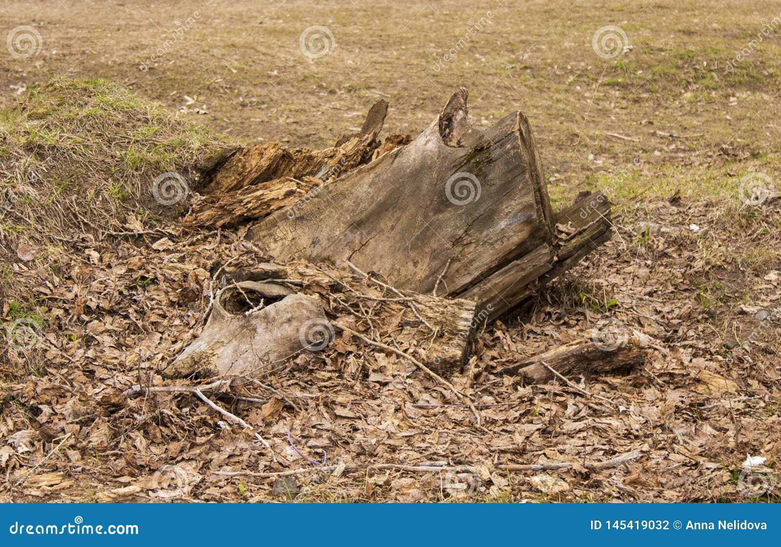 Een gevallen boom, een stomp, een rest van een boom, een felled boom