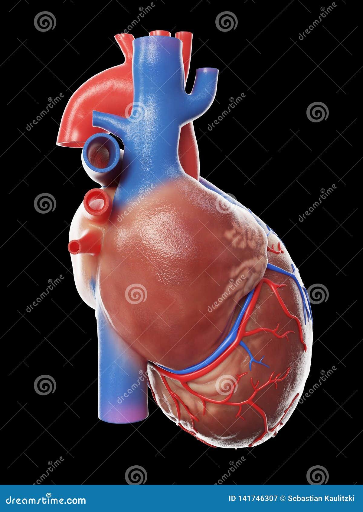 Een gezond menselijk hart