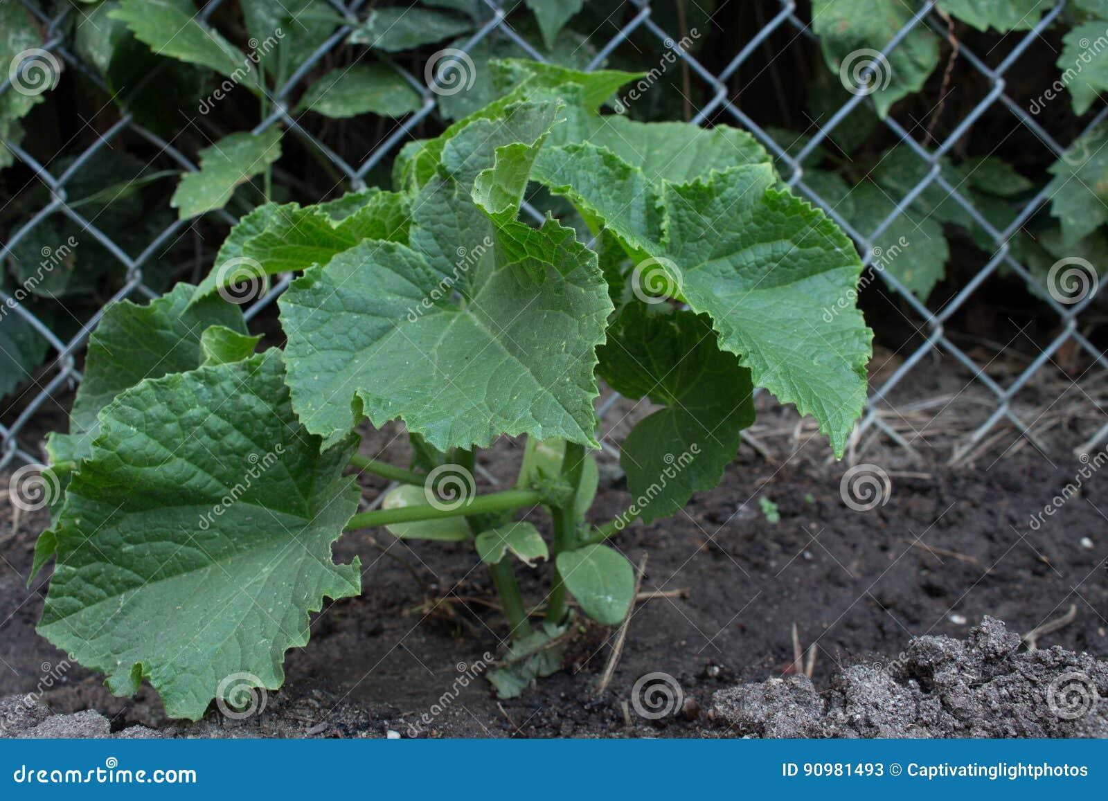 Een gezonde, jonge komkommerinstallatie tegen een omheining van de kettingsverbinding