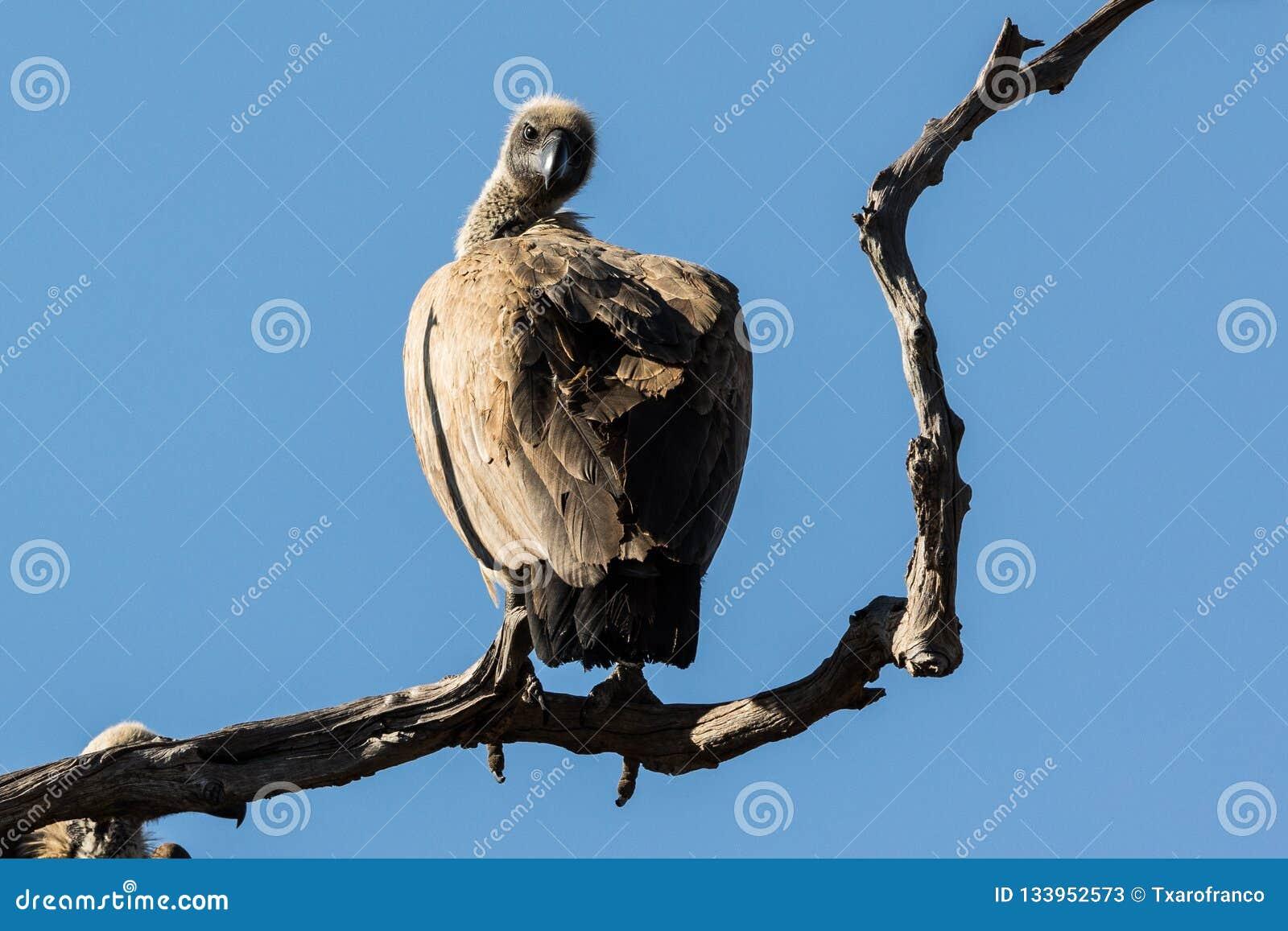 Een gier is op een verdraaide tak van een boom