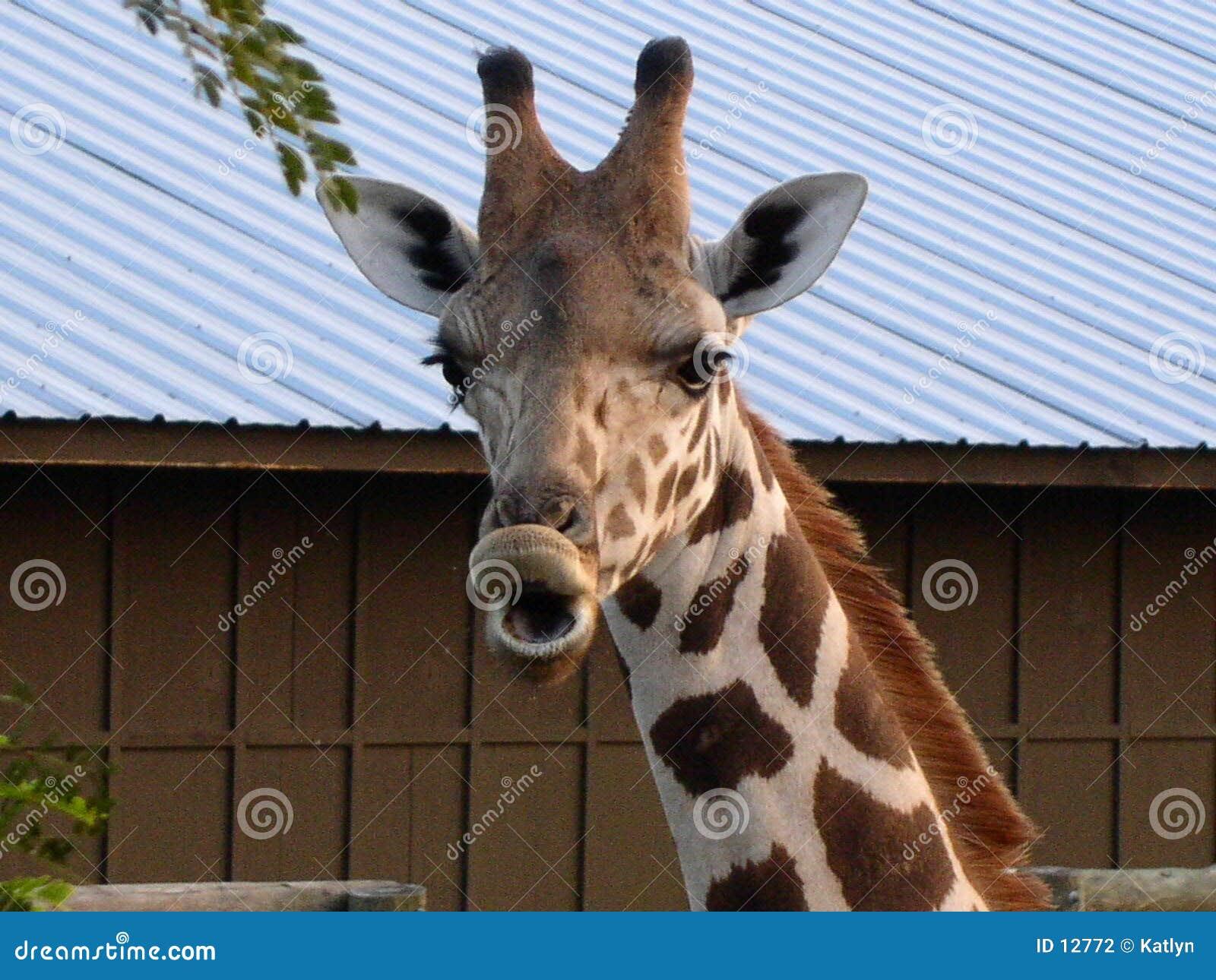 Een giraf