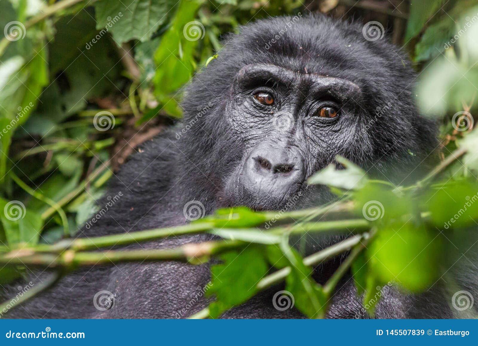 Een gorilla eet bladeren in het Ondoordringbare Bos