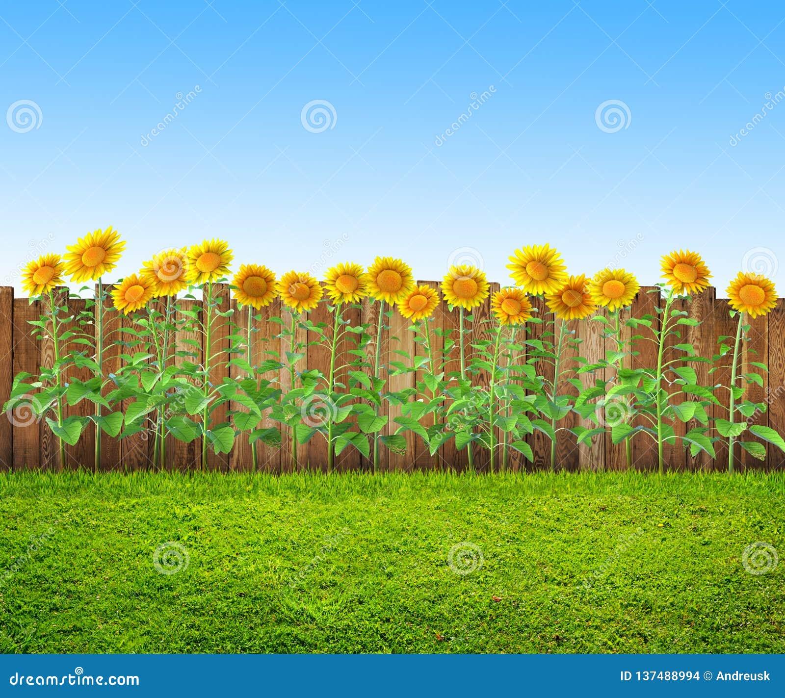 Een gras en zonnebloemen bij binnenplaats, de lenteachtergrond