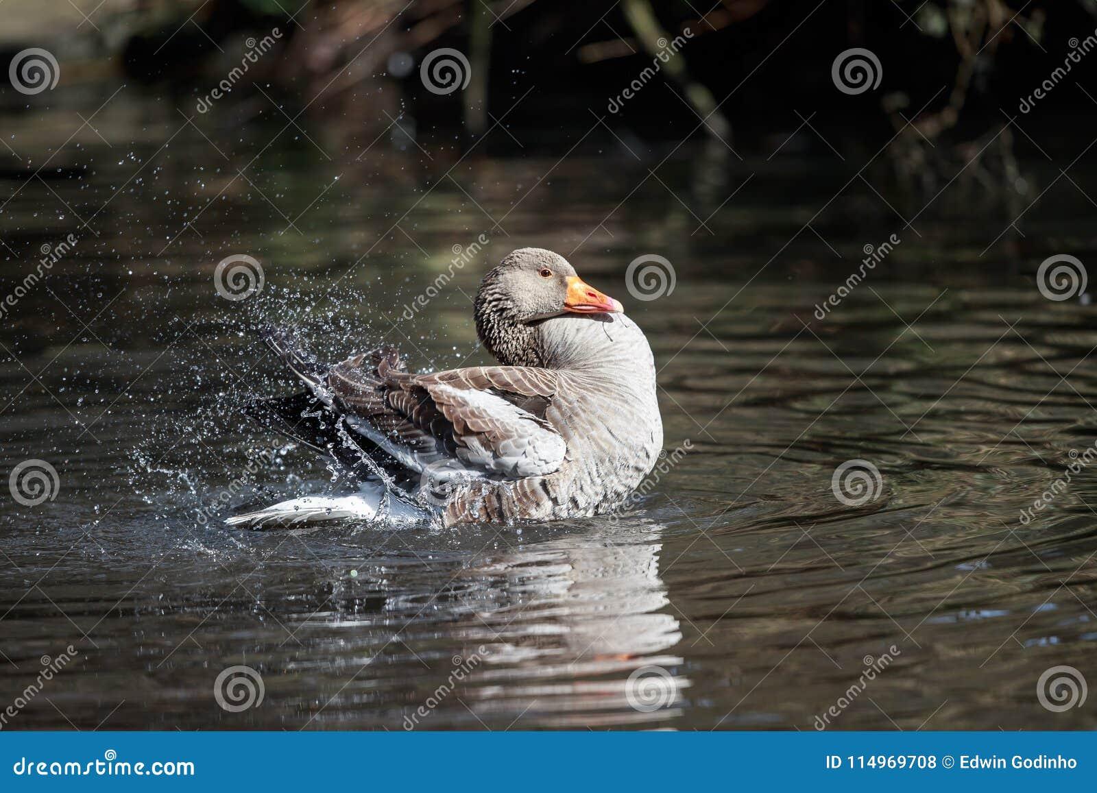Een Greylag gans die een bad hebben