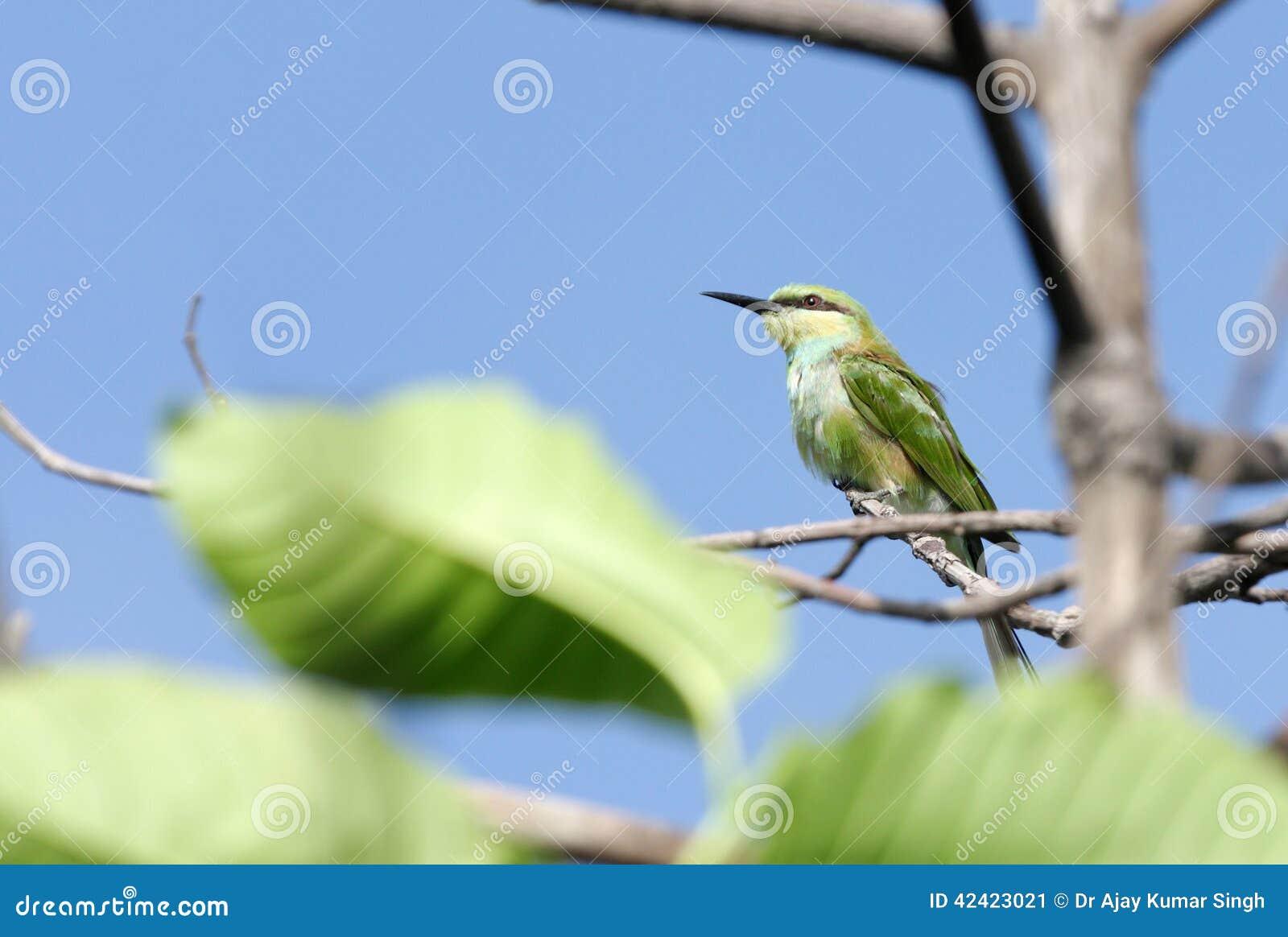 Een groene bea-eter binnen de bladeren