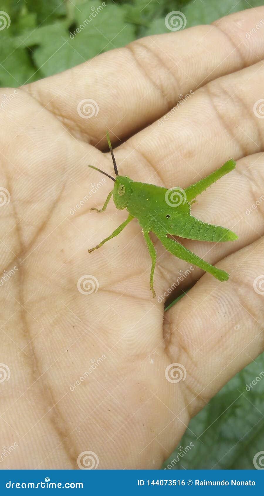 Een groene Sprinkhaan