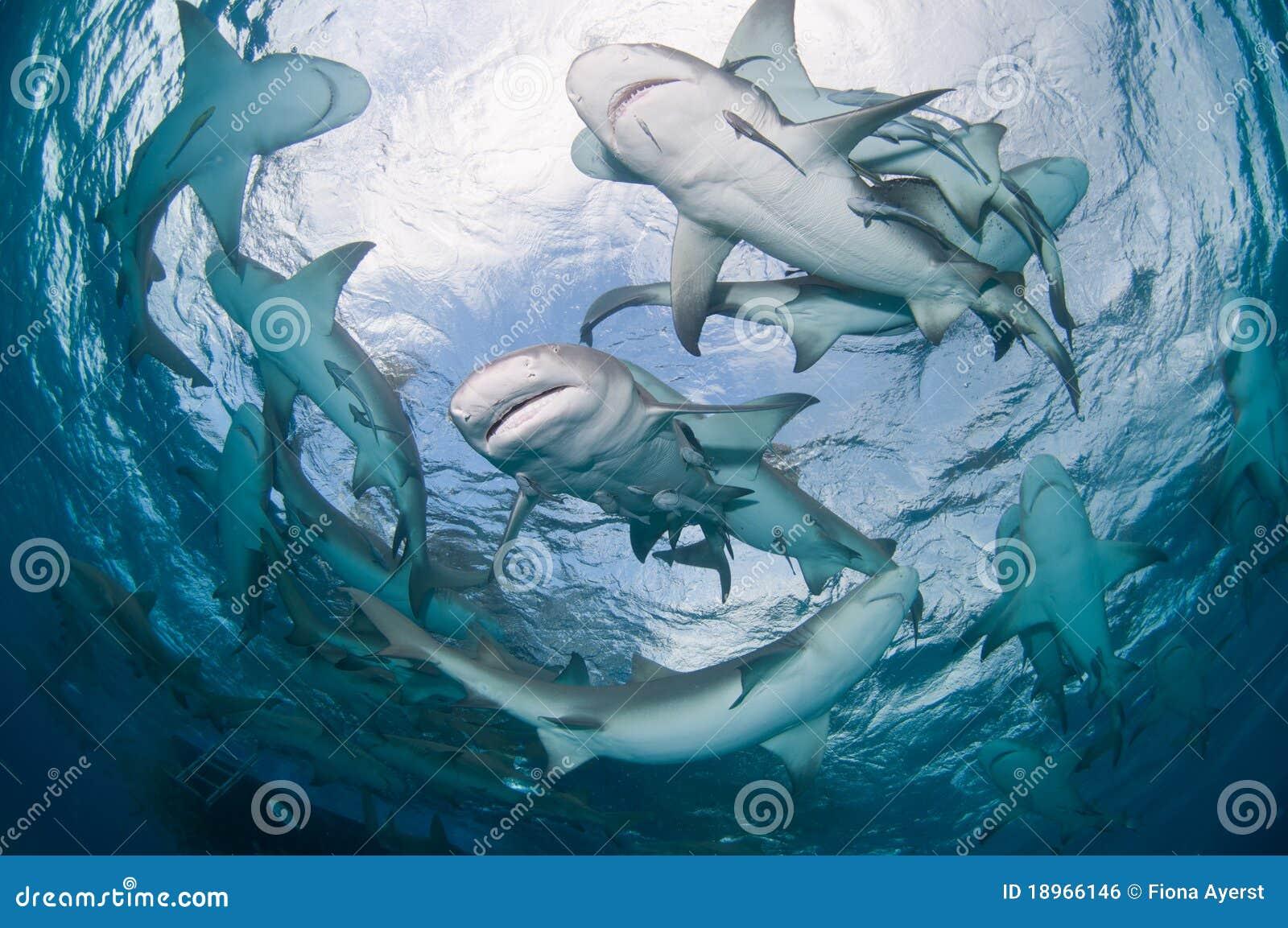 Een groep de haaien van de Citroen