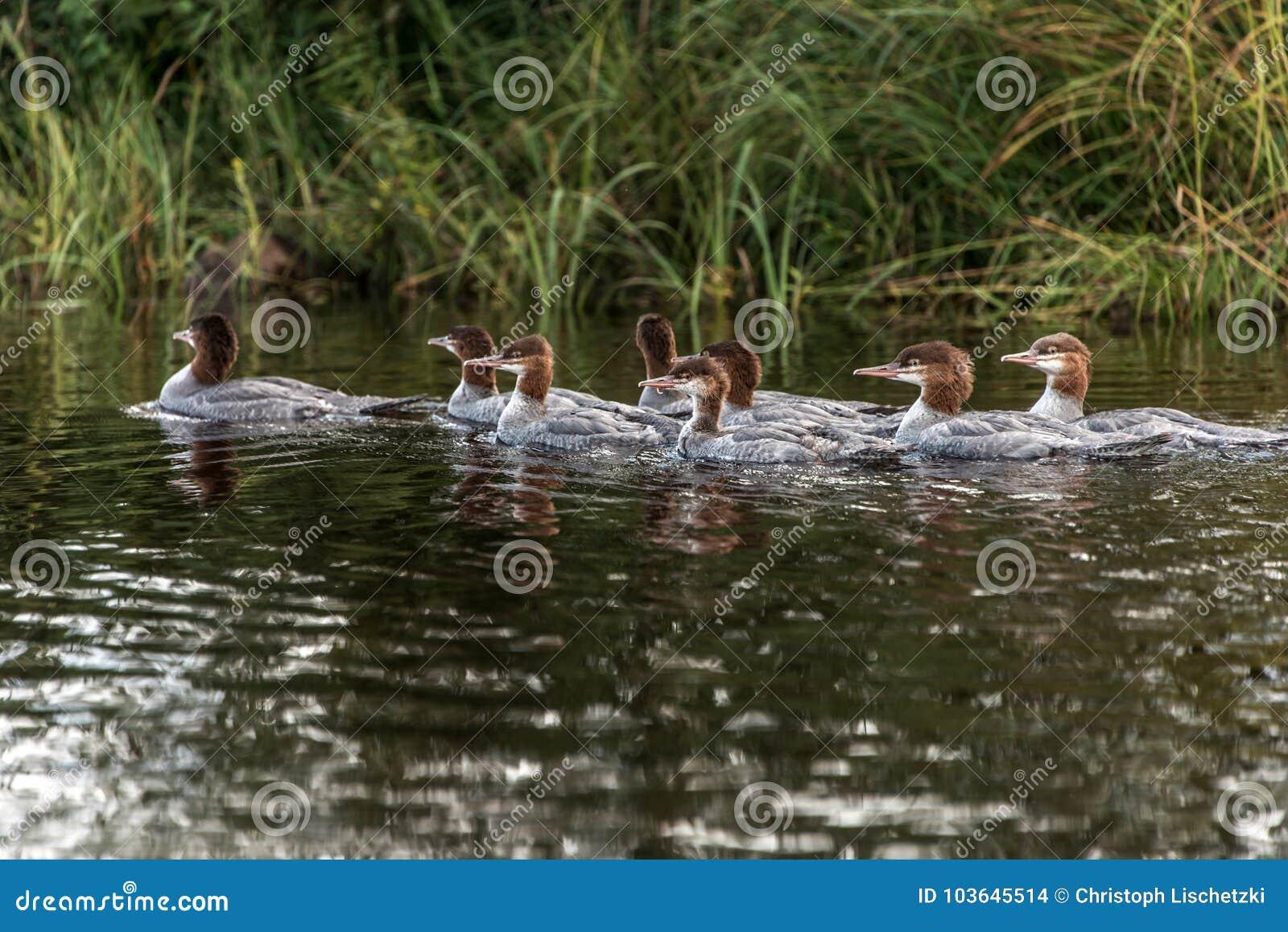 Een groep jonge Gemeenschappelijke Duikerkuikens die op het meer van twee rivieren in algonquin nationaal park Ontario, Canada zw