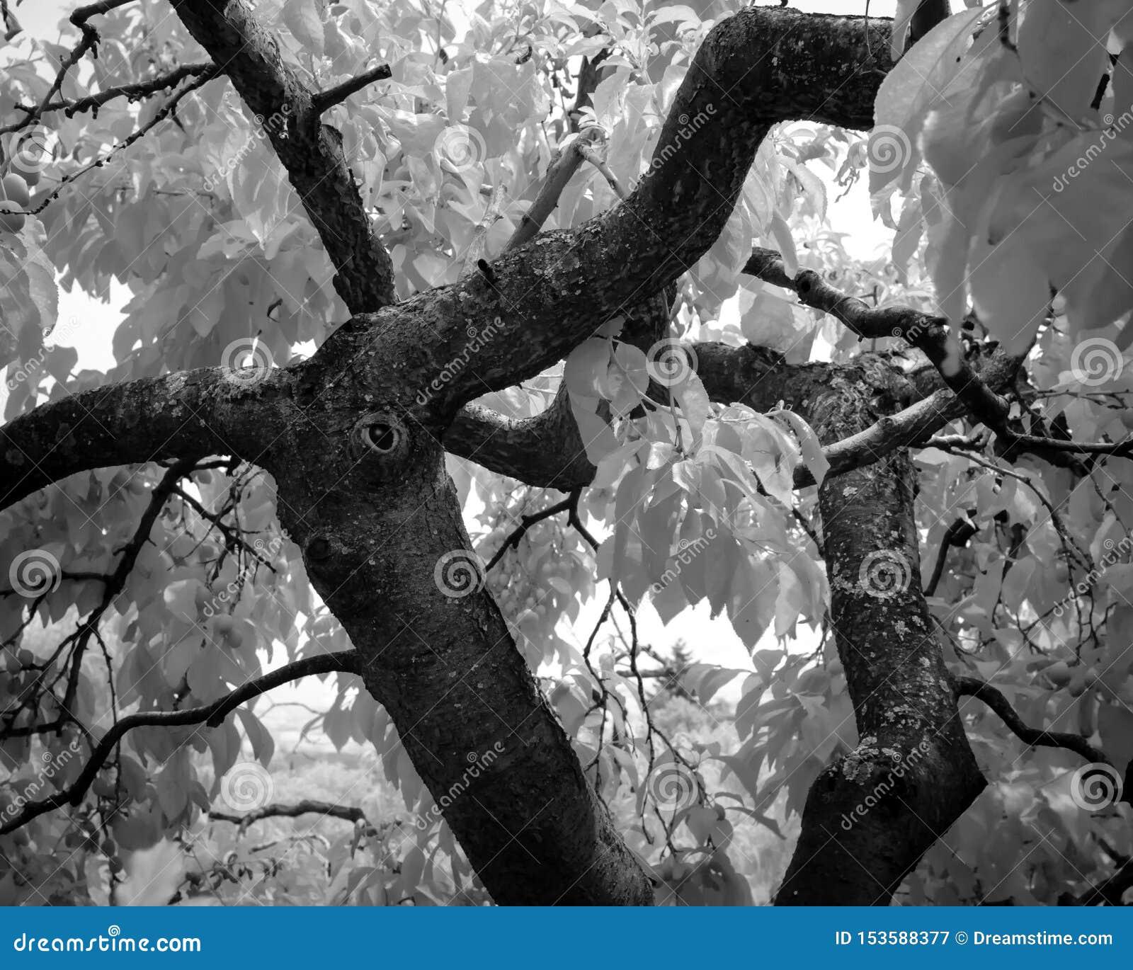 Een groot, oud mos behandelde kersenboom apears om een gedeeltelijk overwoekerde knoop te hebben die apears een oog zijn in infra