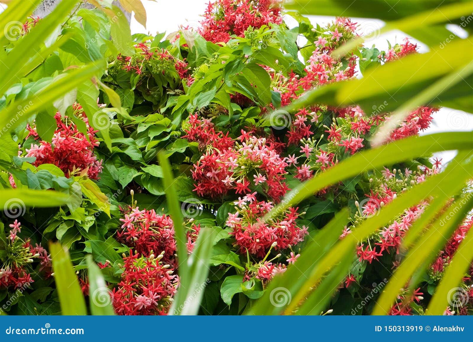 Een grote groene struik met vele kleine roze klimplant van Rangoon bloeit