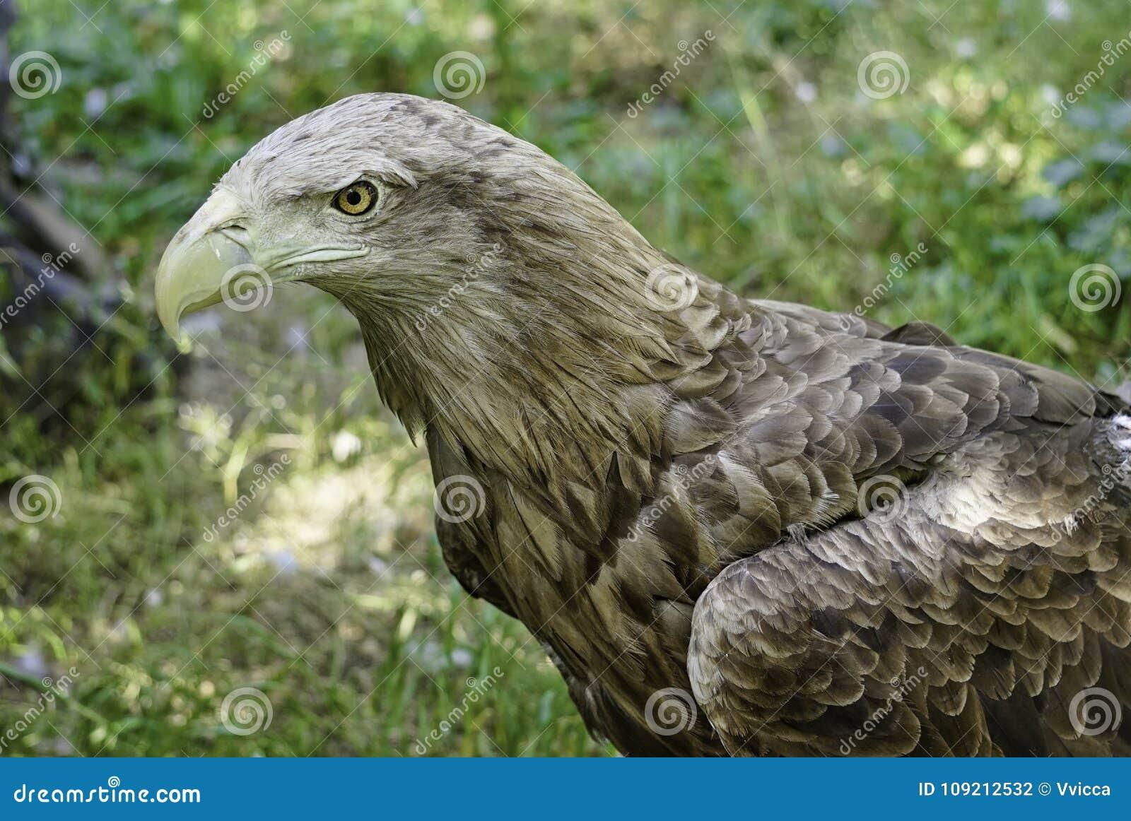 Een grote roofvogel op een groene natuurlijke achtergrond