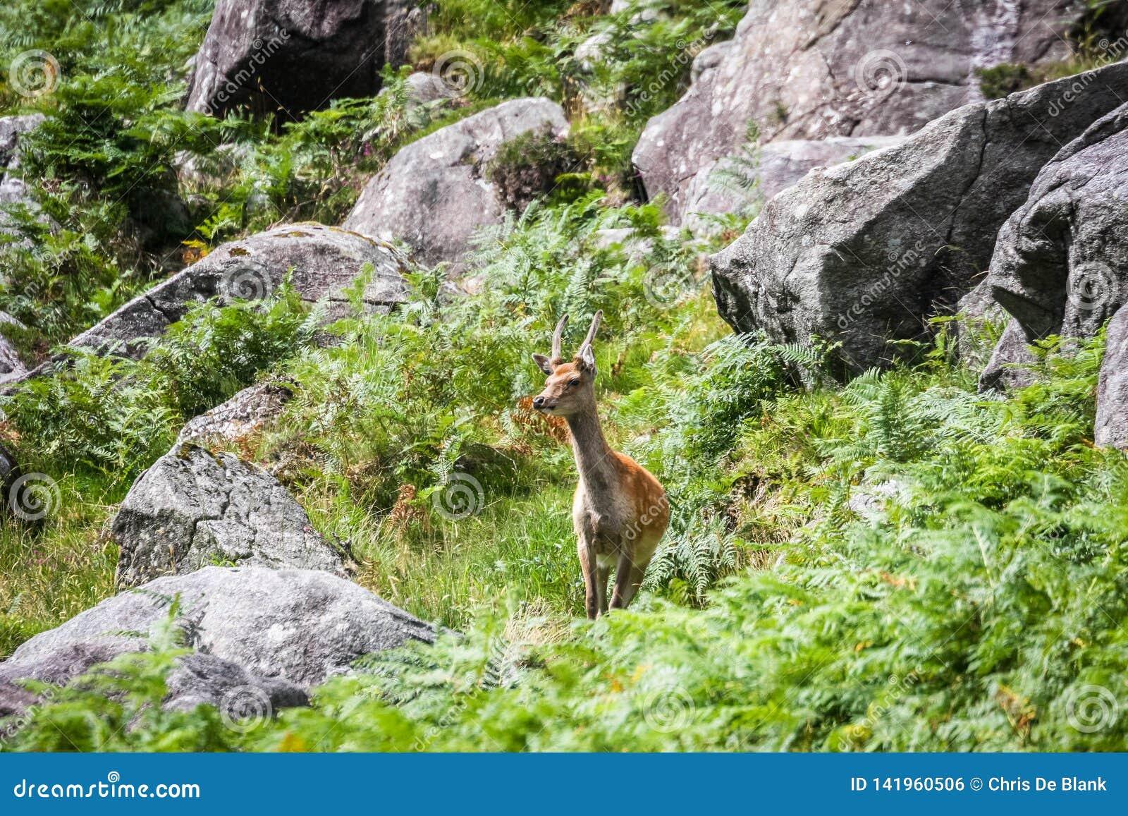 Een hert op het Nationale Park van hellingswicklow
