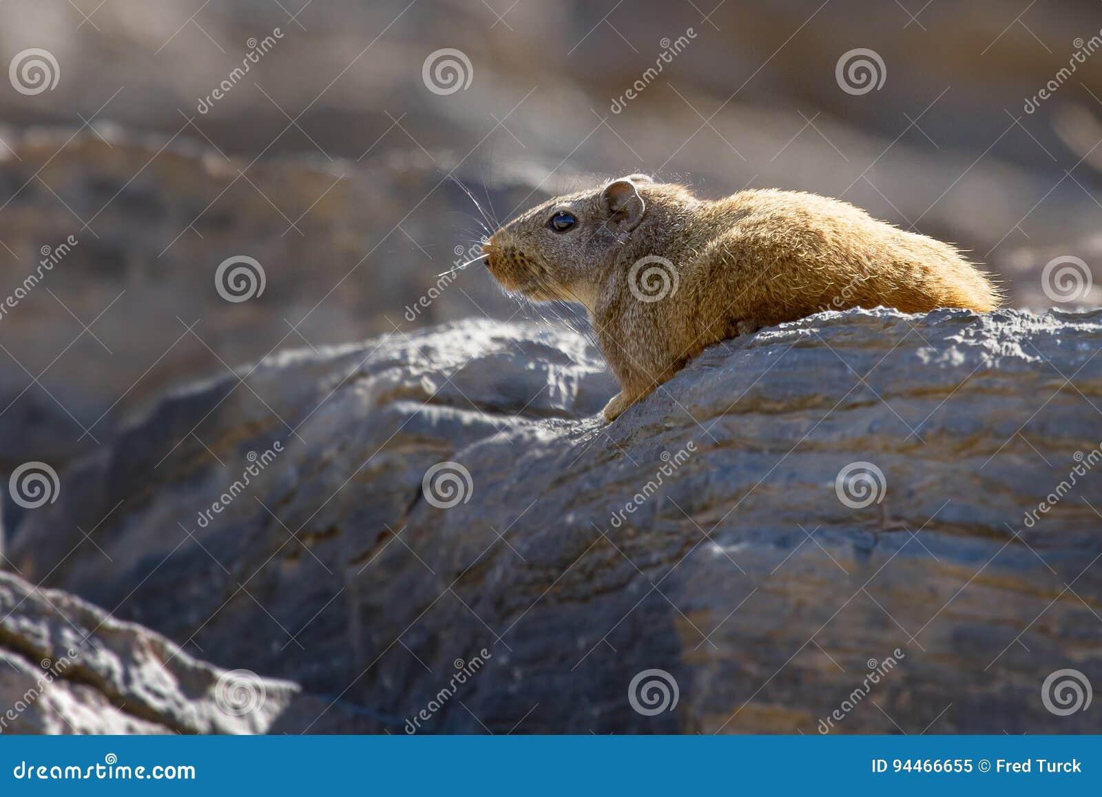 Een het fluiten rat bezet een zonnige vlek in de winter in het rotsachtige Grensoverschrijdende Park van Richtersveld