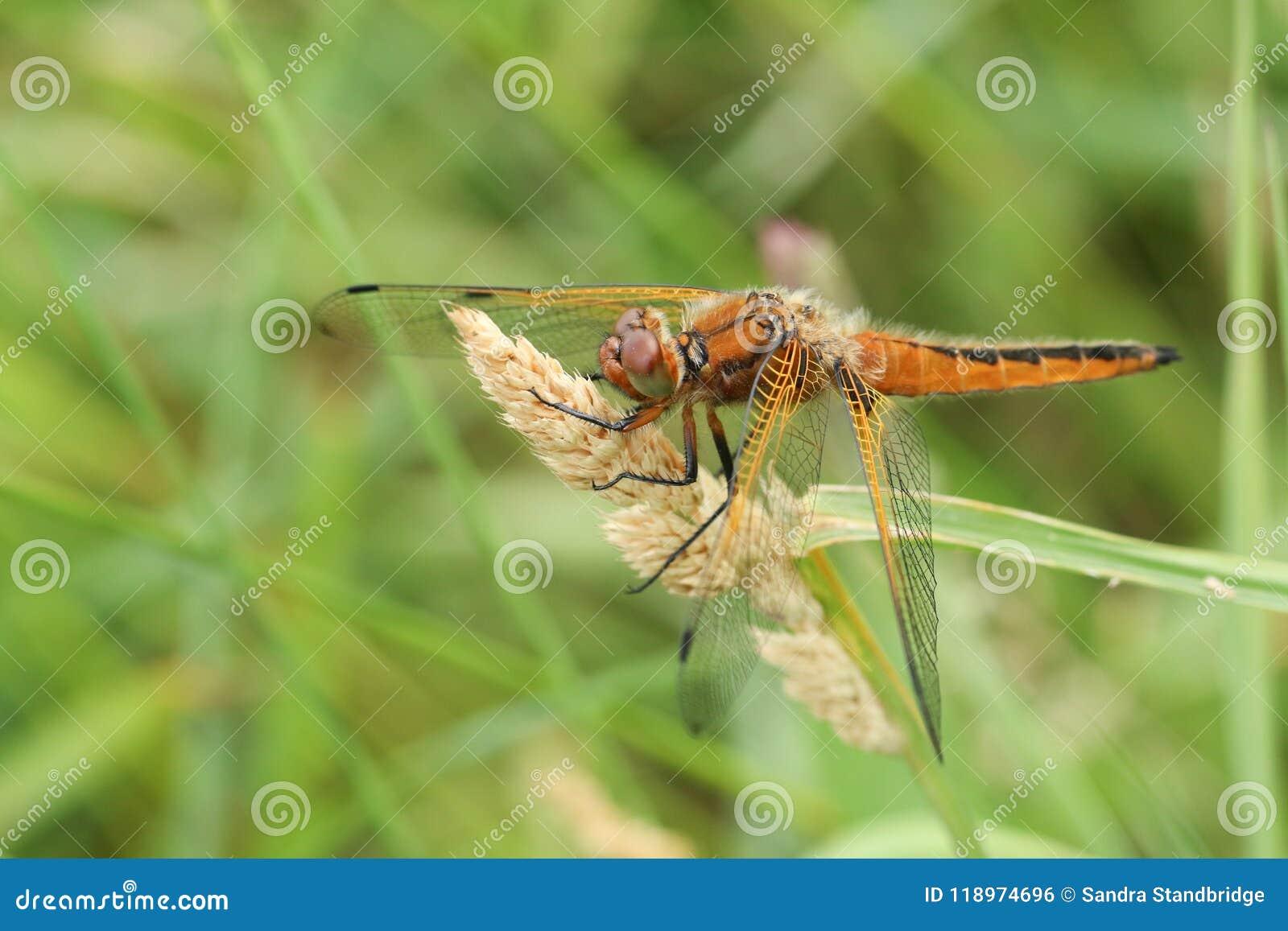 Een het overweldigen Schaarse fulva die van Libellula van de Jagerslibel op een hoofd van het graszaad neerstrijken