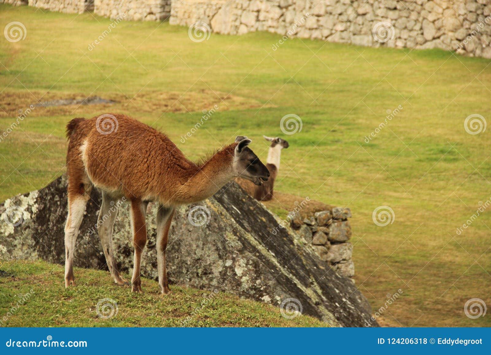 Een het rusten Lama bij ruines