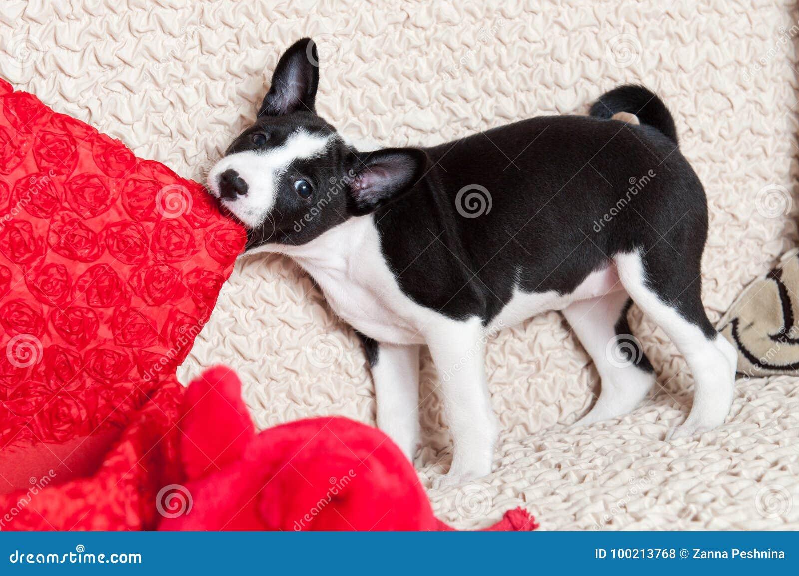 Een hond bijt hoofdkussen