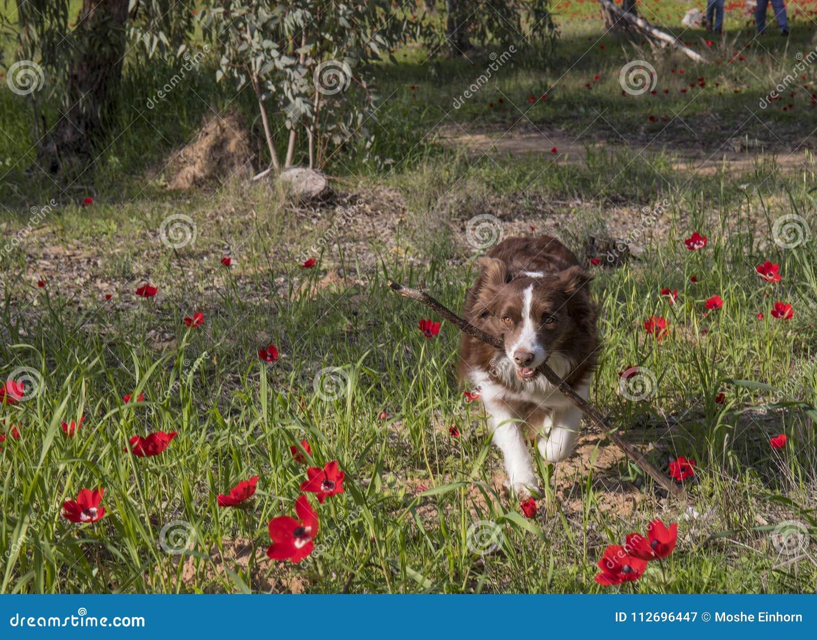 Een Hond die een Stok halen