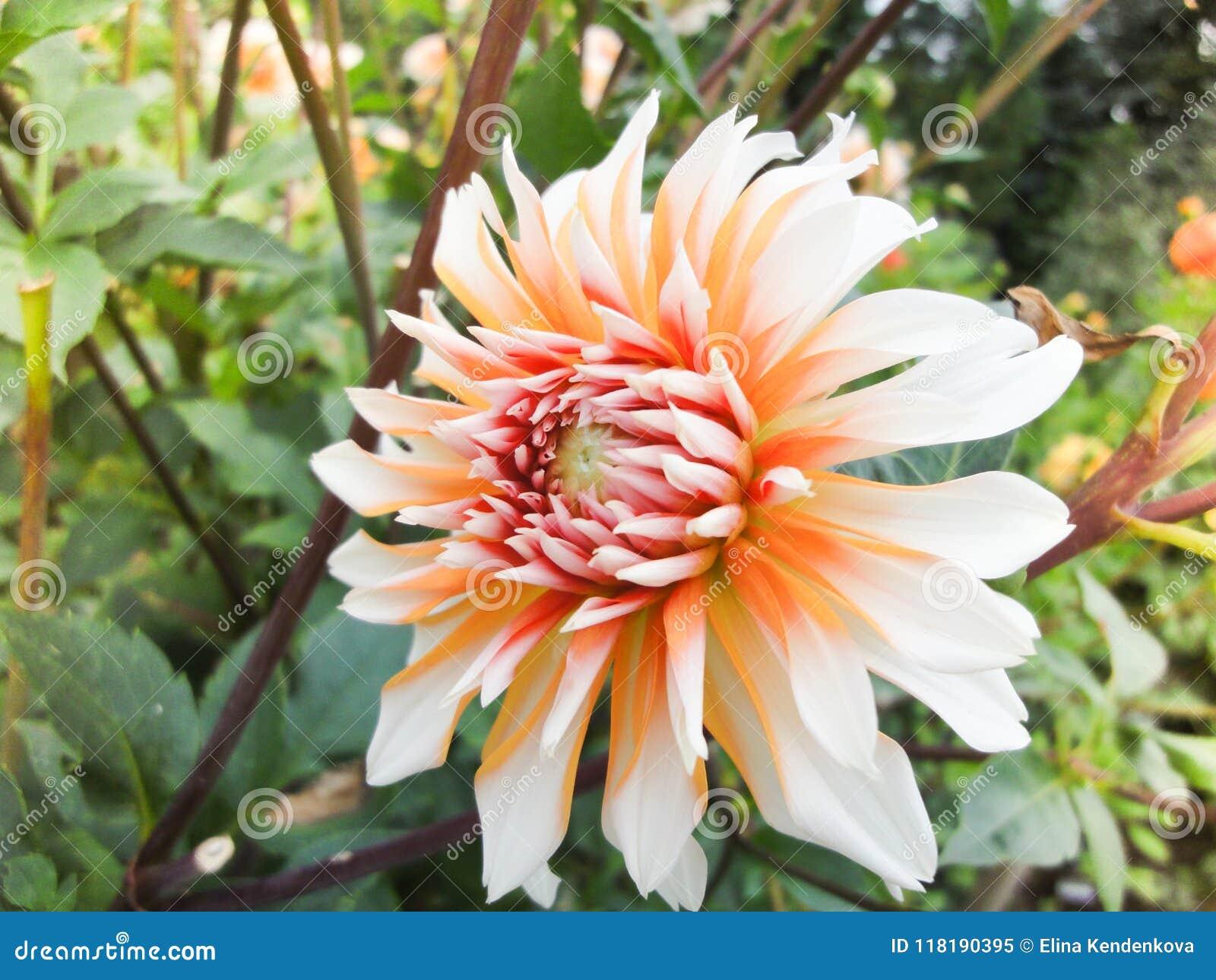 Een hoofd van dahlia in de tuin in de zomer zonnige dag