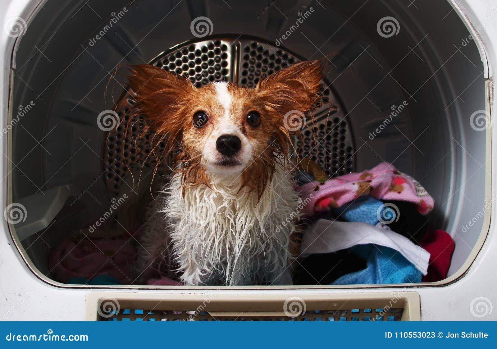 Een huisdierenhond in een drogere machine