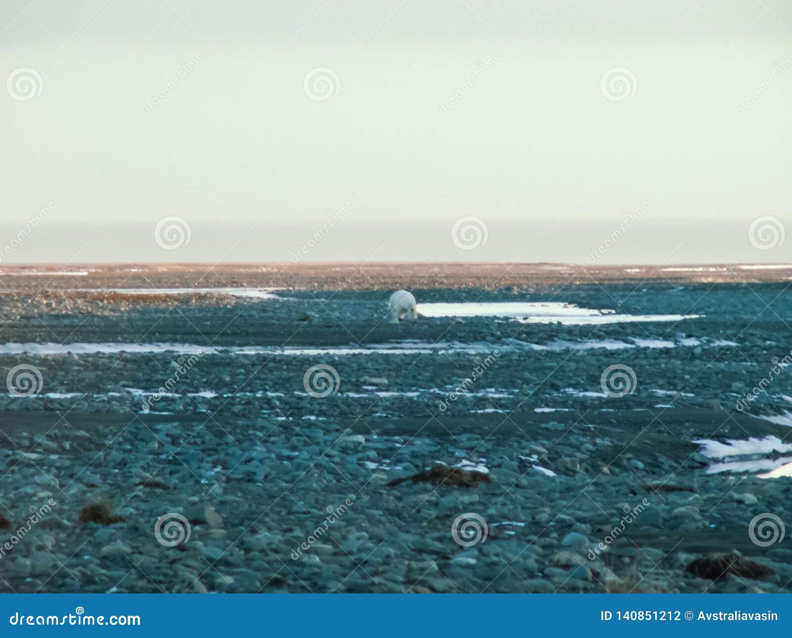 Een ijsbeer loopt langs een helling