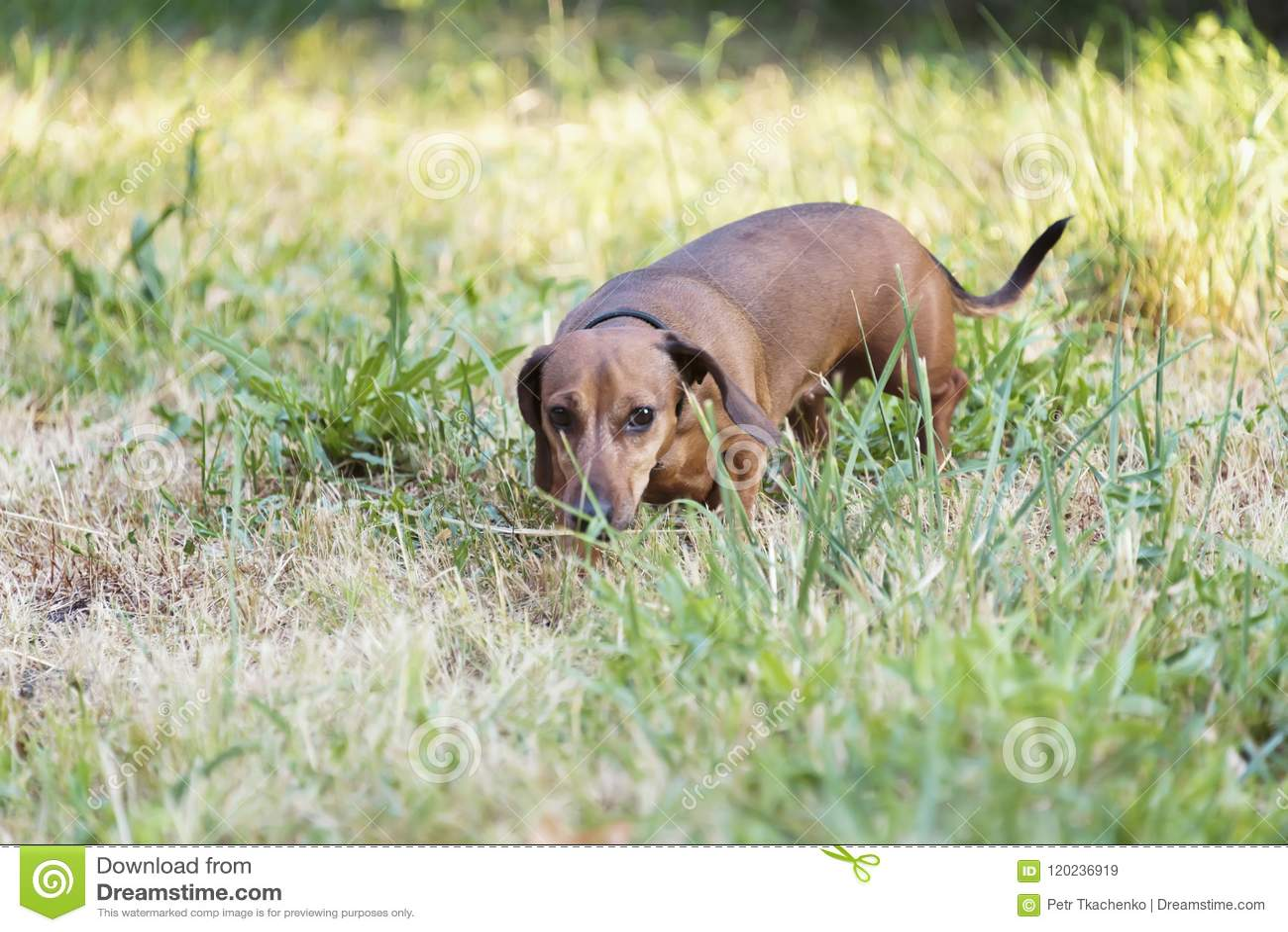 Een jachthond loopt langs de grastekkel, Basset