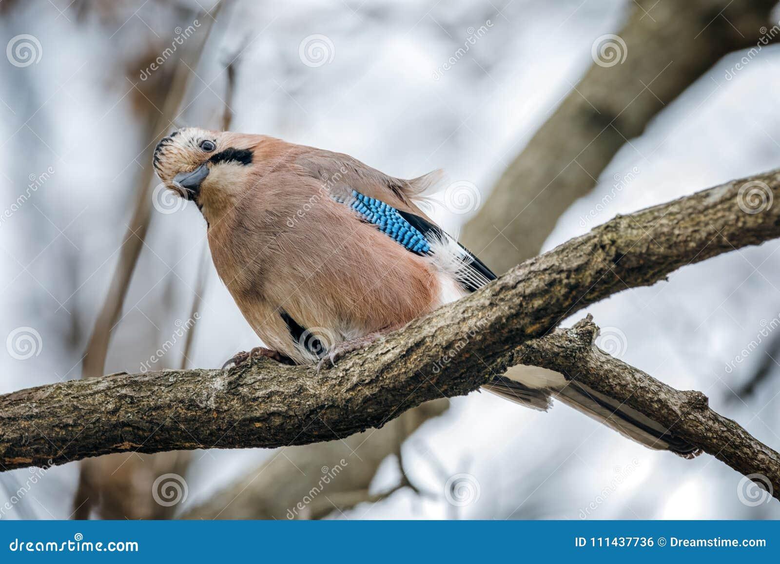 Een Jay Bird Eating On The-Boom