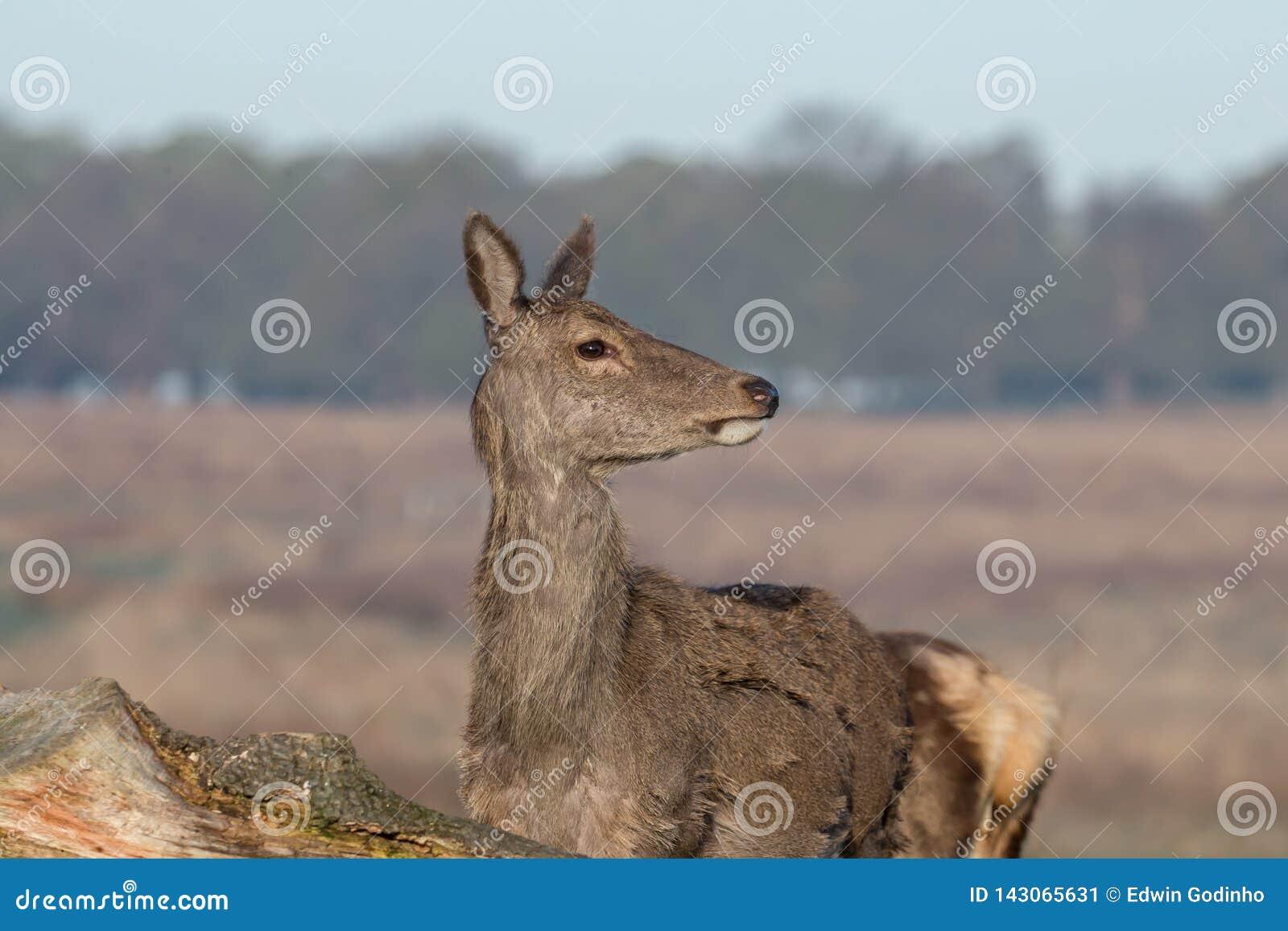 Een jong rood hert achterste bij eerste omhoog dicht licht