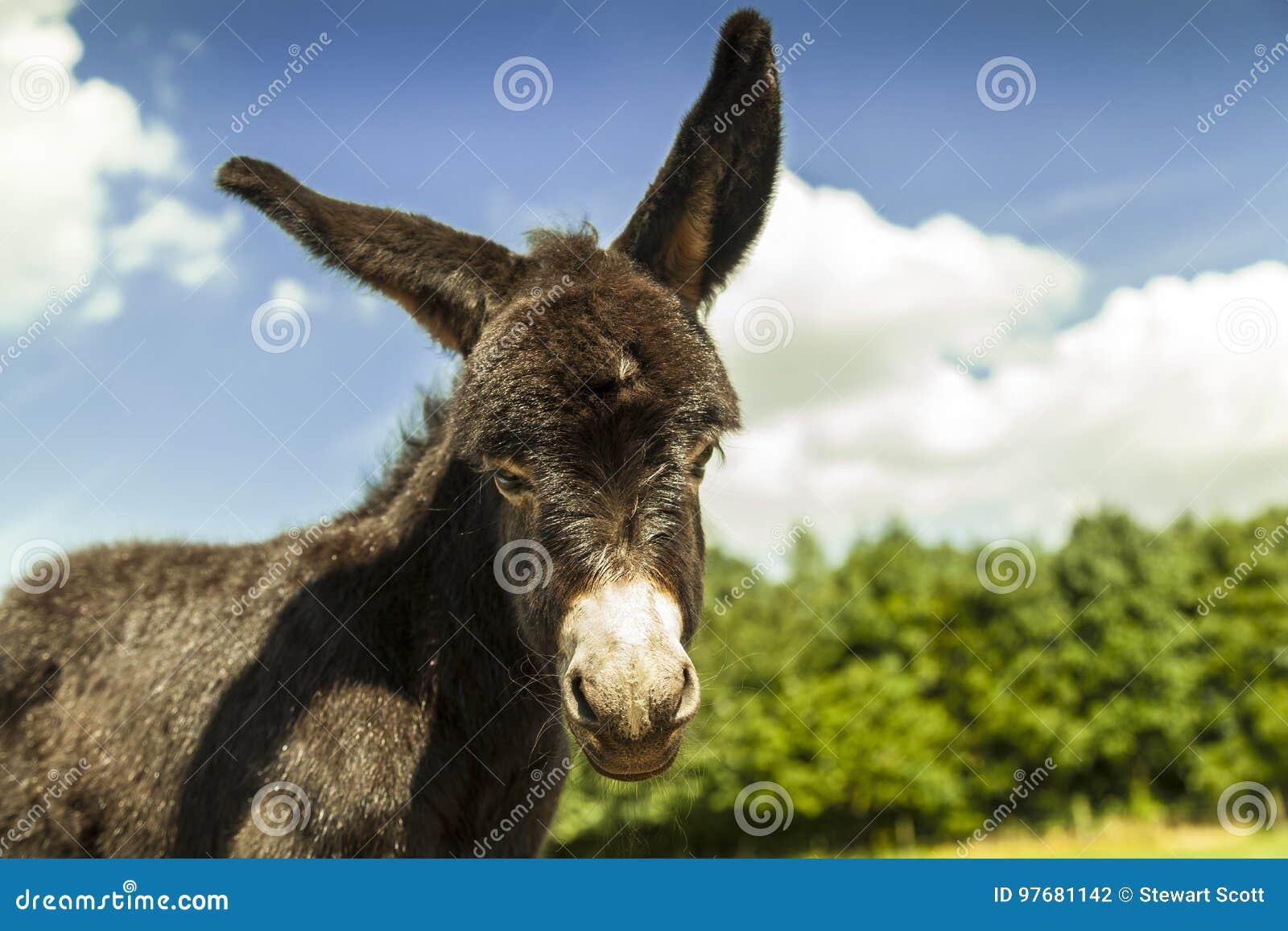 Een jonge ezel