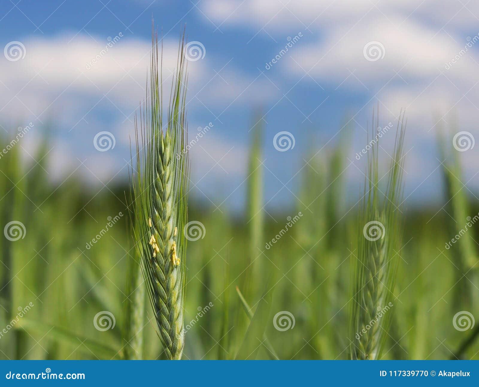 Een jonge groene en bloeiende steel van tarwe rijpt op een tarwegebied tegen een blauwe hemel Vage natuurlijke achtergrond Landbo