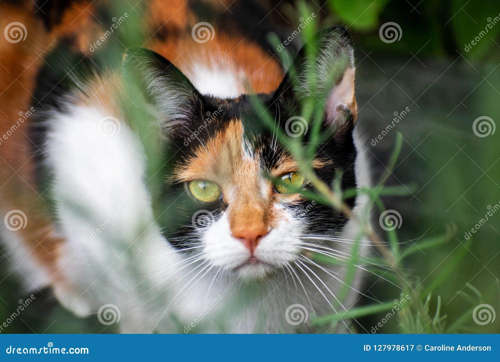 Een jonge kat die van het schildpadcalico in kreupelhout verbergen